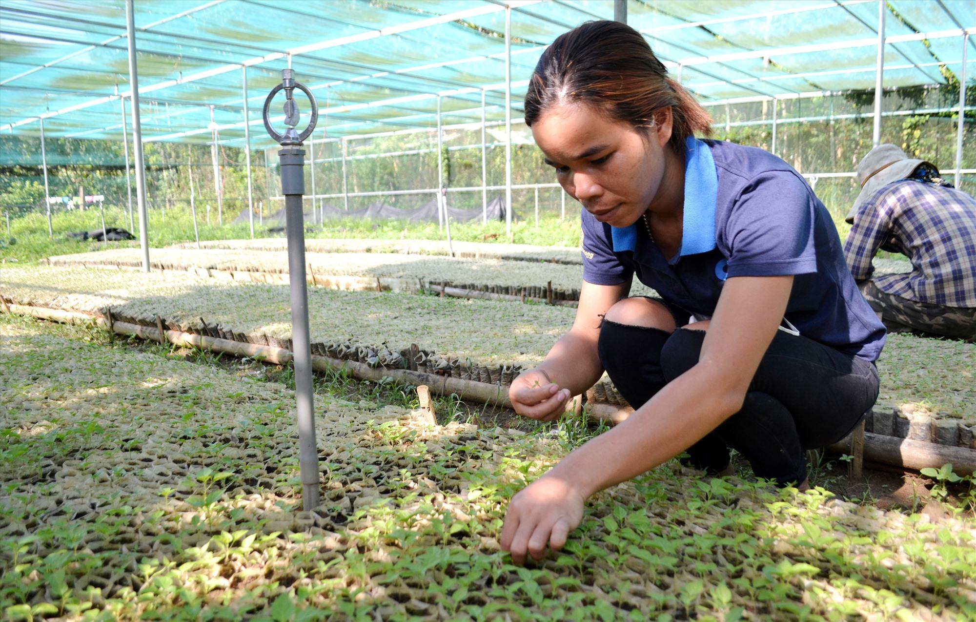 HTX Nông lâm nghiệp xã Mà Cooih ươm cấp giống ớt Ariêu cho người dân trồng. Ảnh: C.T