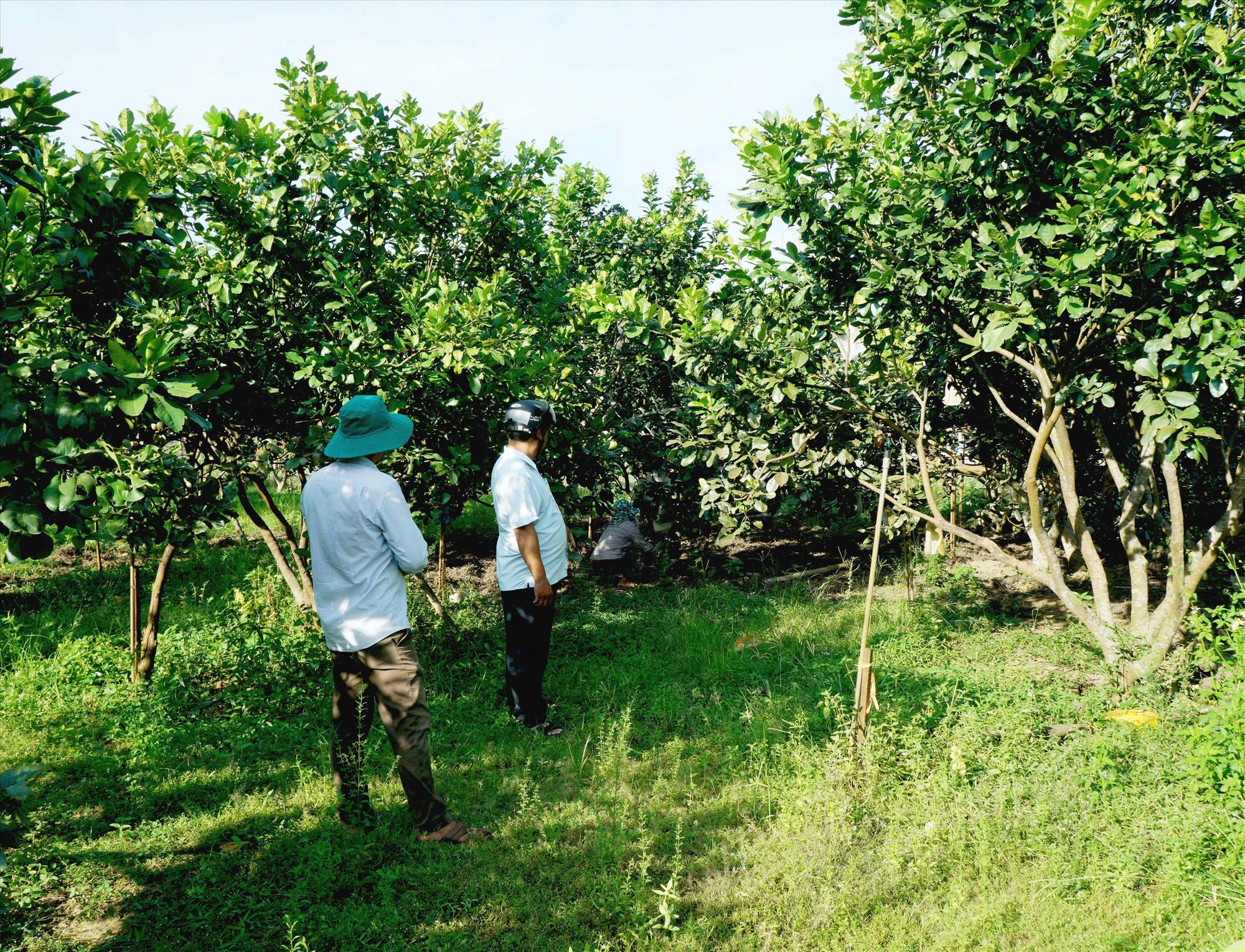 Vườn bưởi trĩu quả của nhà bà Đoàn Thị Hoa (thôn Thọ Tân, xã Tam Ngọc).