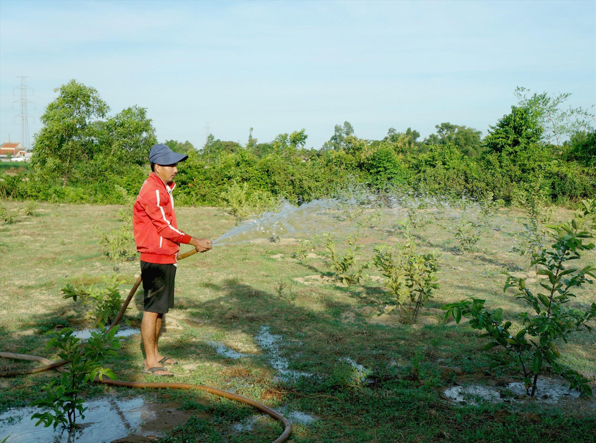 Ông Nguyễn Quốc Oa (thôn Thọ Tân, xã Tam Ngọc) tưới nước cho vườn ổi 5 tháng tuổi. Ảnh: Nguyễn Điện Ngọc
