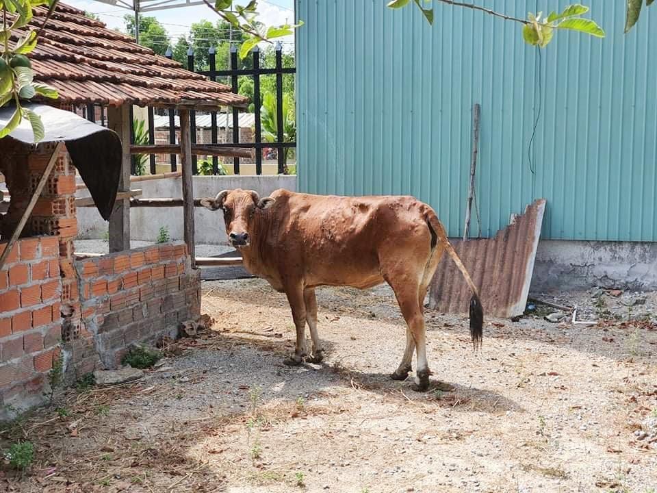 Bò của một hộ dân bị nhiễm bệnh viêm da nổi cục đang được cách ly, tích cực điều trị. Ảnh: H.L