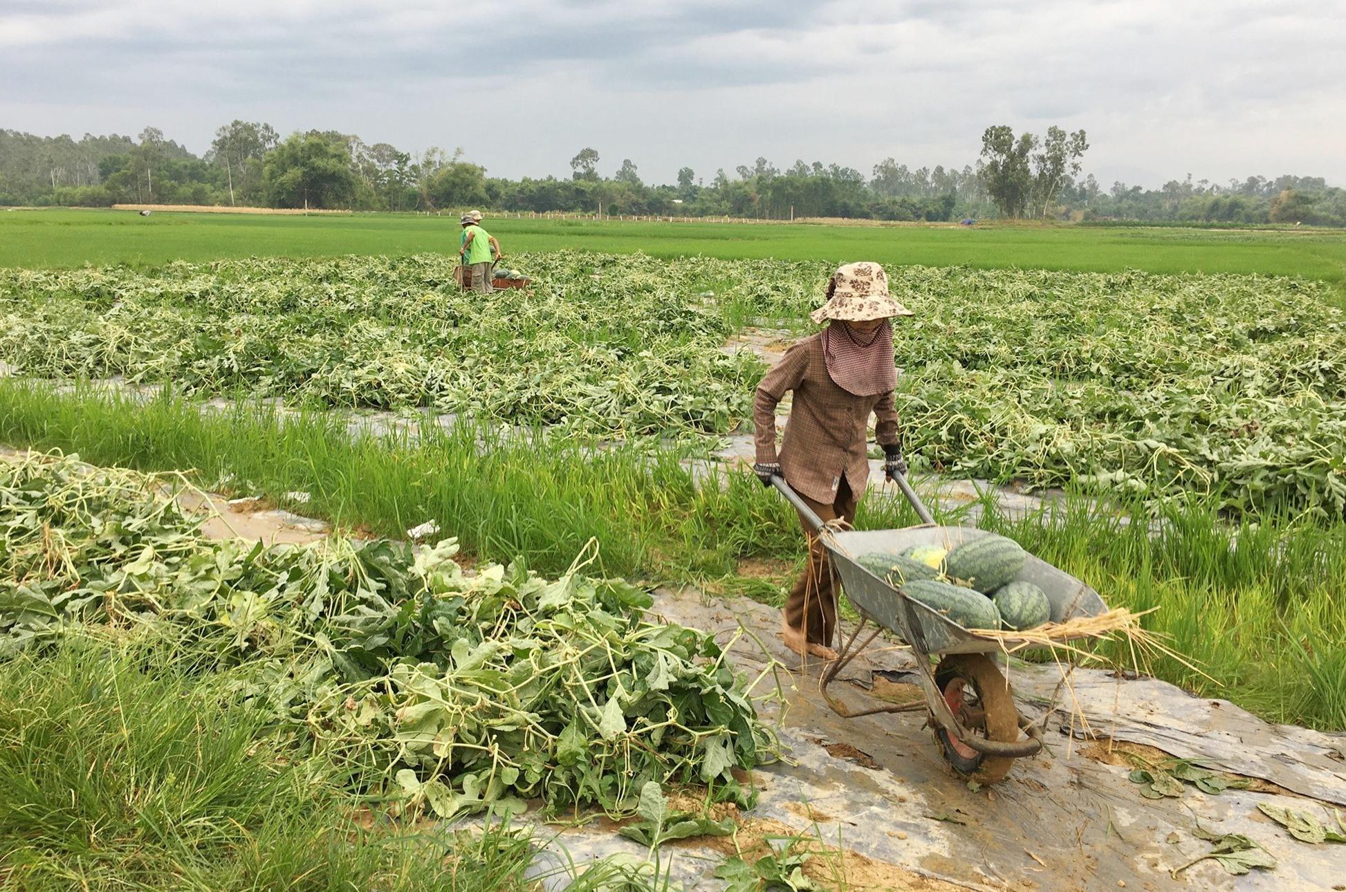 Người dân Phú Ninh thu hoạch dưa hấu. Ảnh: HẢI CHÂU