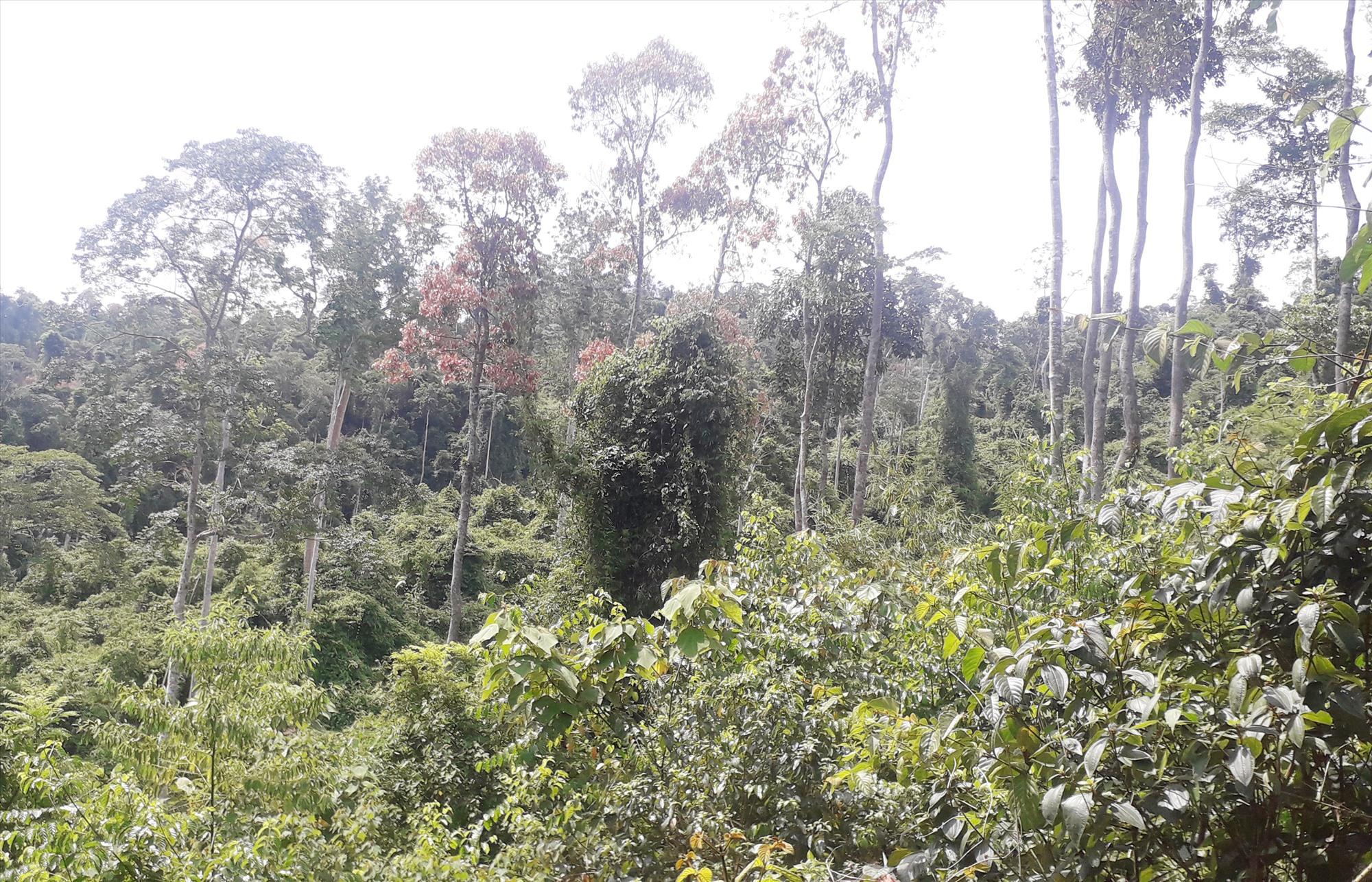 Những cánh rừng ươi ở Nam Giang. Ảnh: V.T