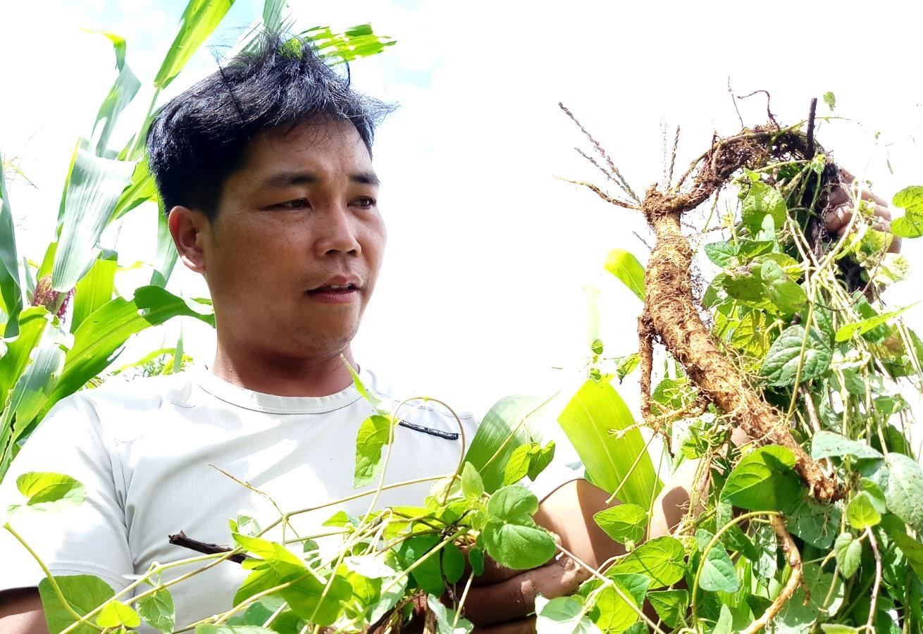 Alăng Lơ - người đưa đảng sâm Tây Giang vực dậy và nâng cao giá trị sản phẩm nông nghiệp đặc trưng tại địa phương. Ảnh: ĐĂNG NGUYÊN