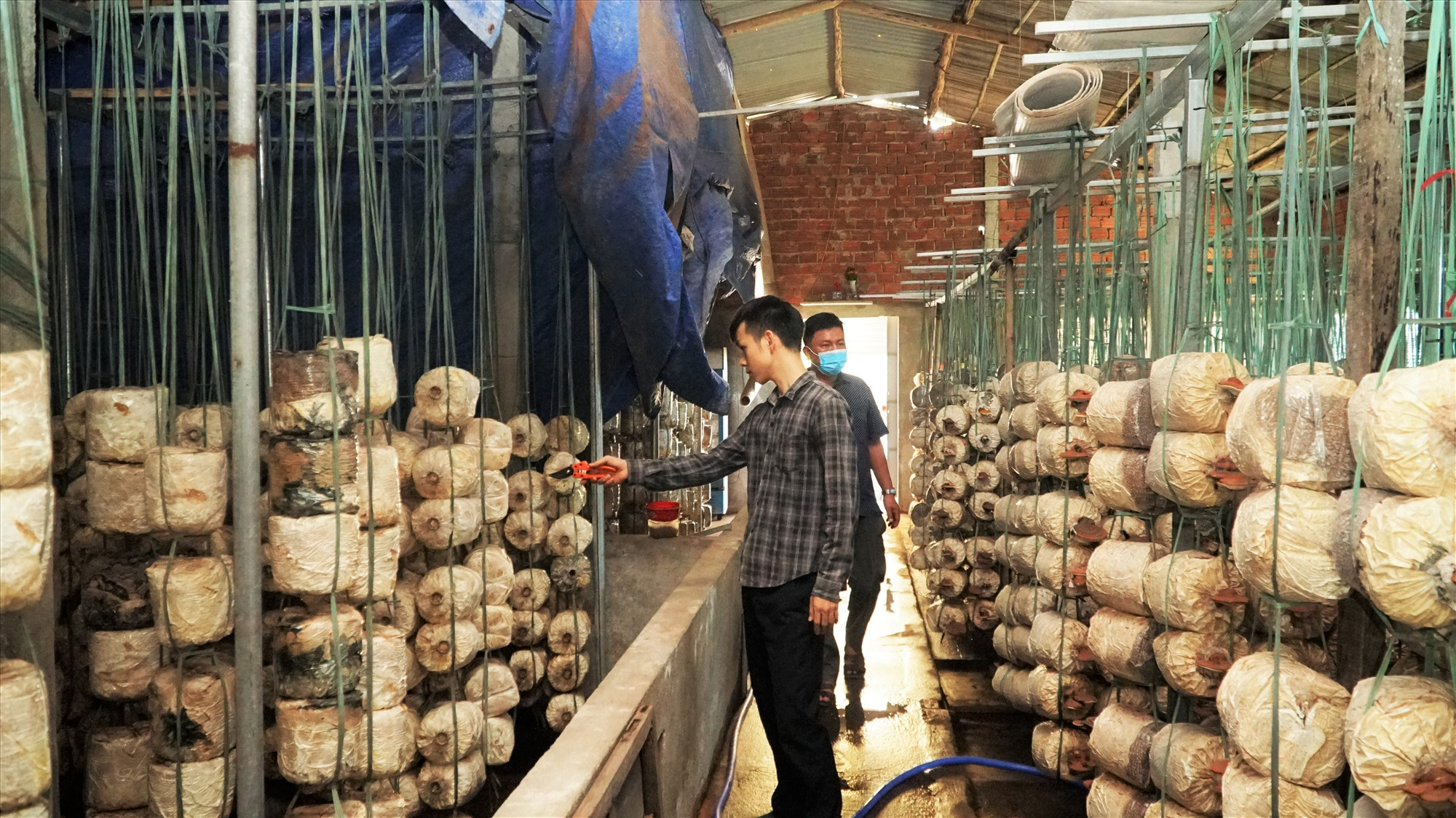 Hồ Đức Thiện xây dựng thành công mô hình trồng nấm linh chi đỏ hướng hữu cơ. Ảnh: N.Trang
