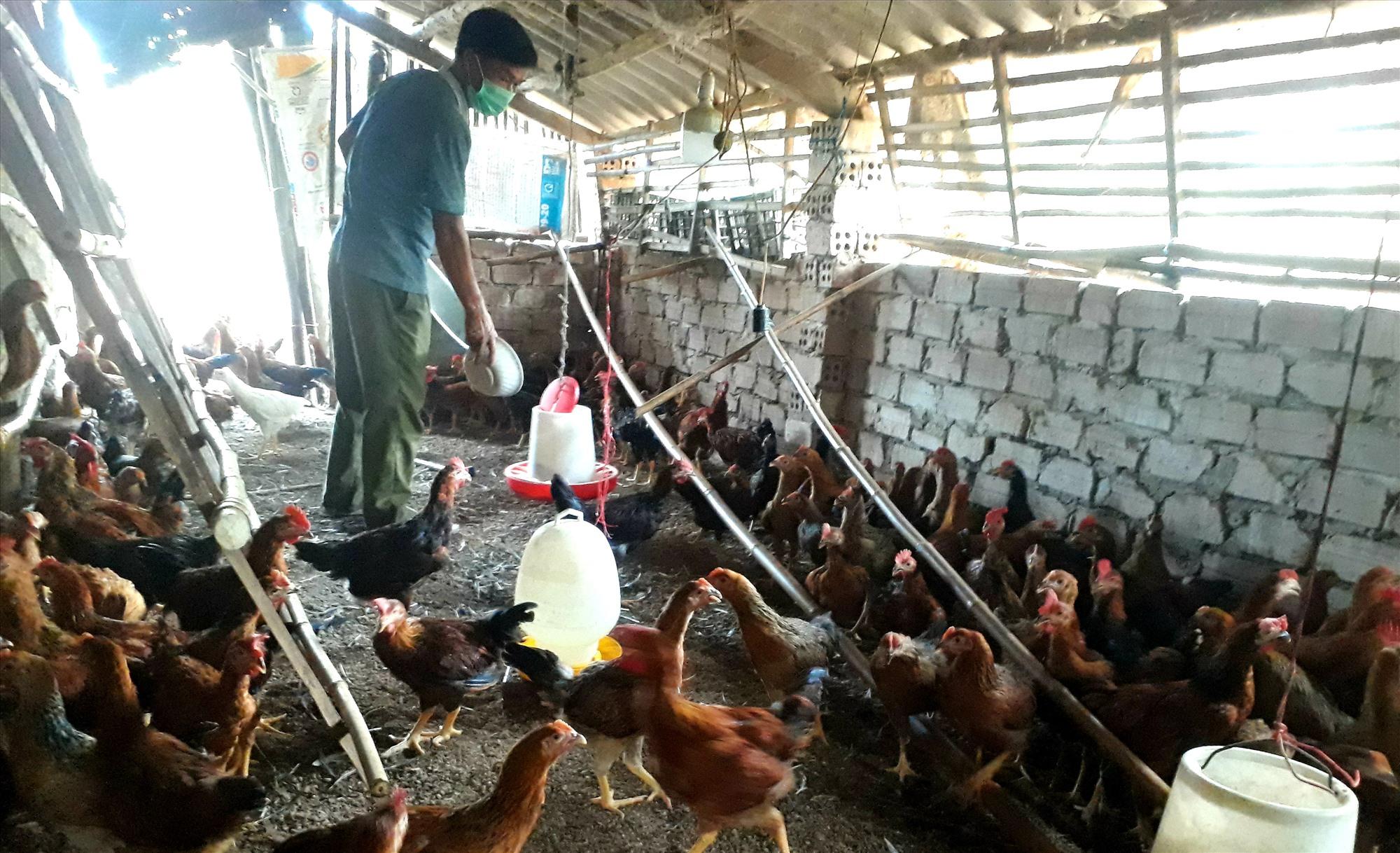 Mô hình nuôi gà trên nền đệm lót sinh học của ông Lê Văn Minh ở thôn Lộc Thượng (Quế Long, Quế Sơn) mang lại hiệu quả kinh tế cao. Ảnh: T.P