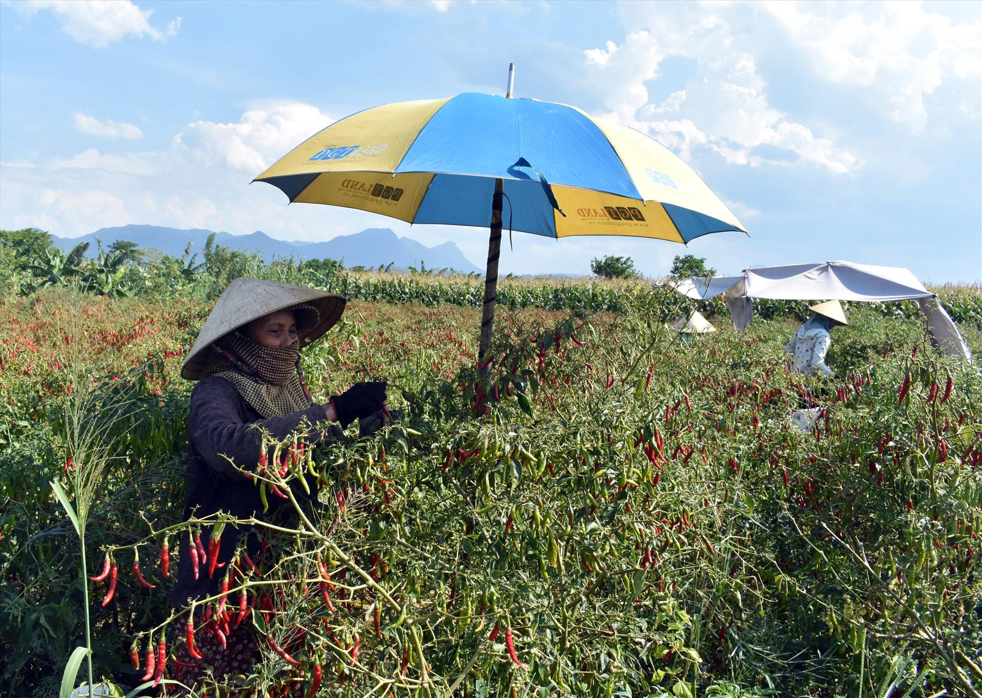 Giá phân bón tăng cao khiến hoạt động sản xuất của nông dân gặp khó. Ảnh: V.L