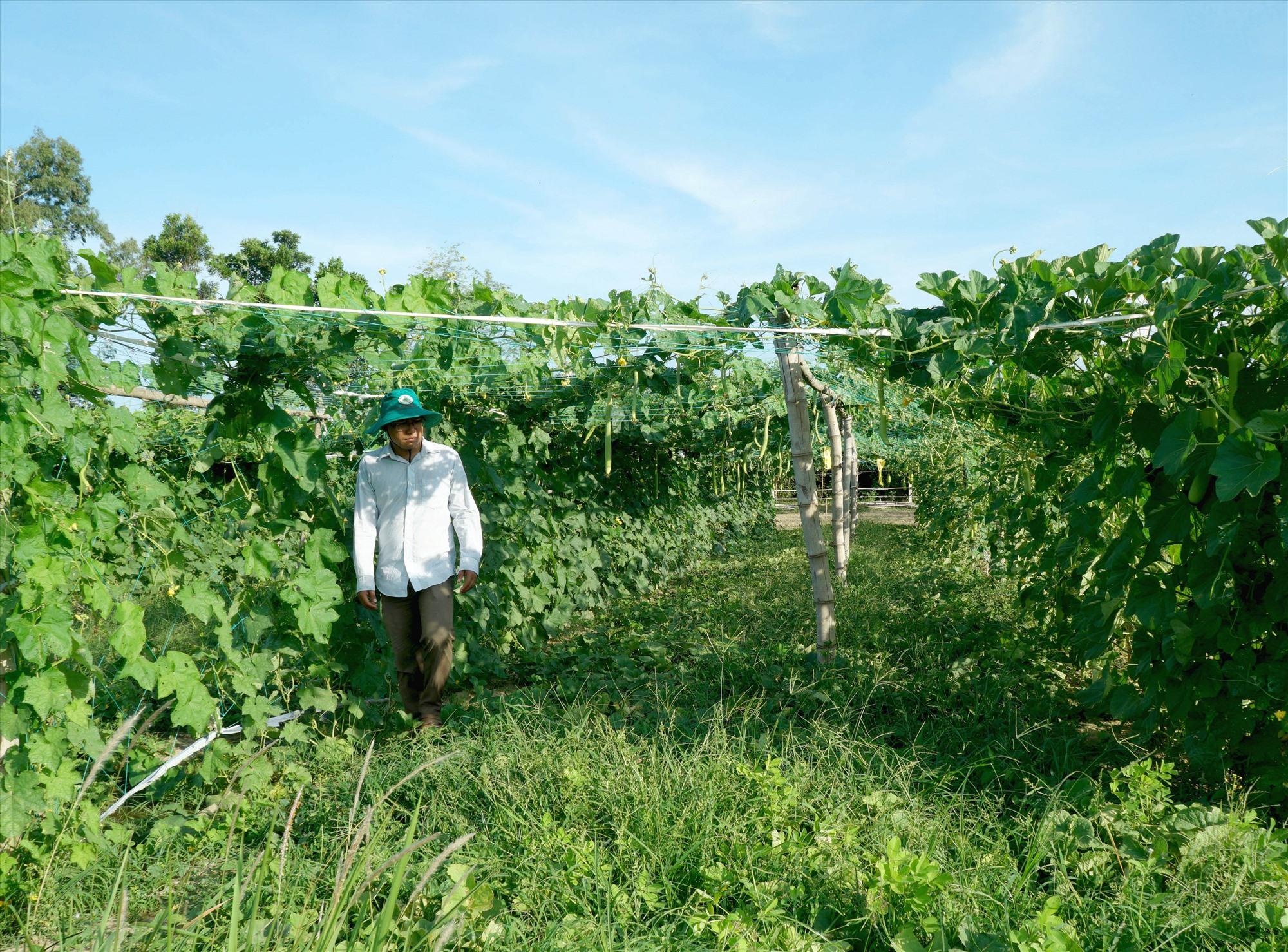 Nhiều vườn rau ở Tam Ngọc quanh năm xanh tốt, cải thiện nguồn thu nhập cho nông dân địa phương. Ảnh: Nguyễn Điện Ngọc
