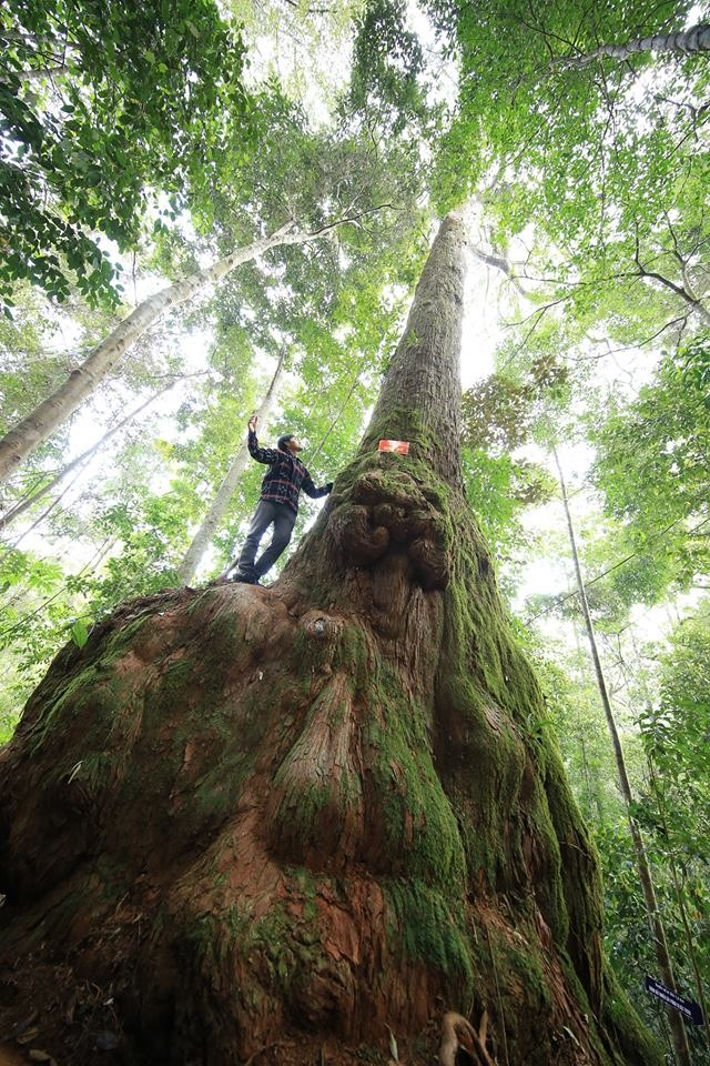 One of the ancient Fokienia trees in Tay Giang, Quang Nam