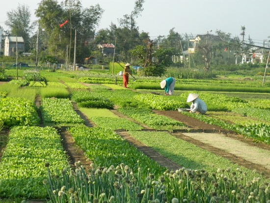 Tra Que vegetable village in Hoi An city, Quang Nam province