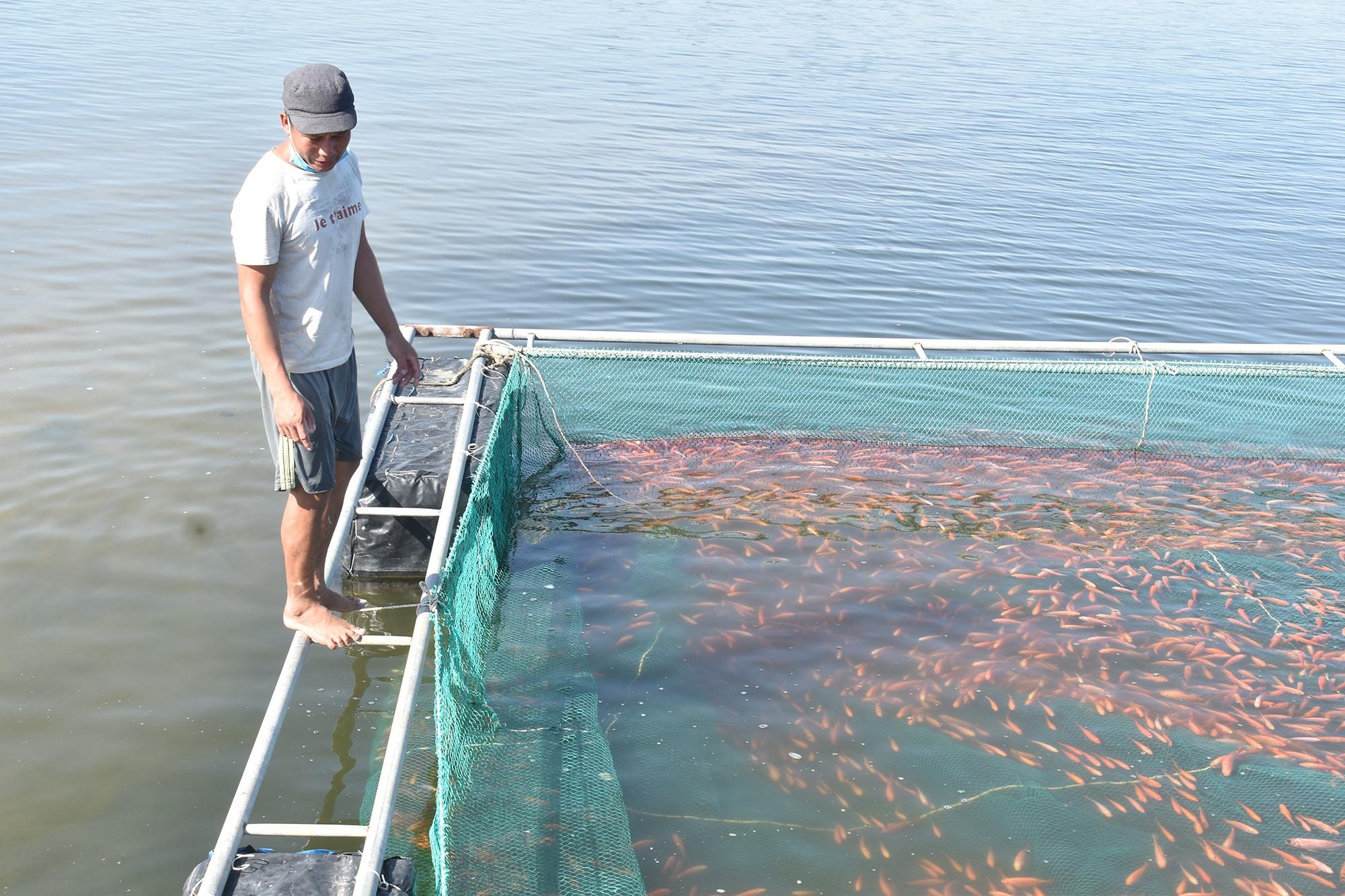 Các chủ nuôi cá lồng bè trên sông Trường Giang thường nuôi cá gần bờ để giảm lượng nước chảy mạnh. Ảnh: H.Q