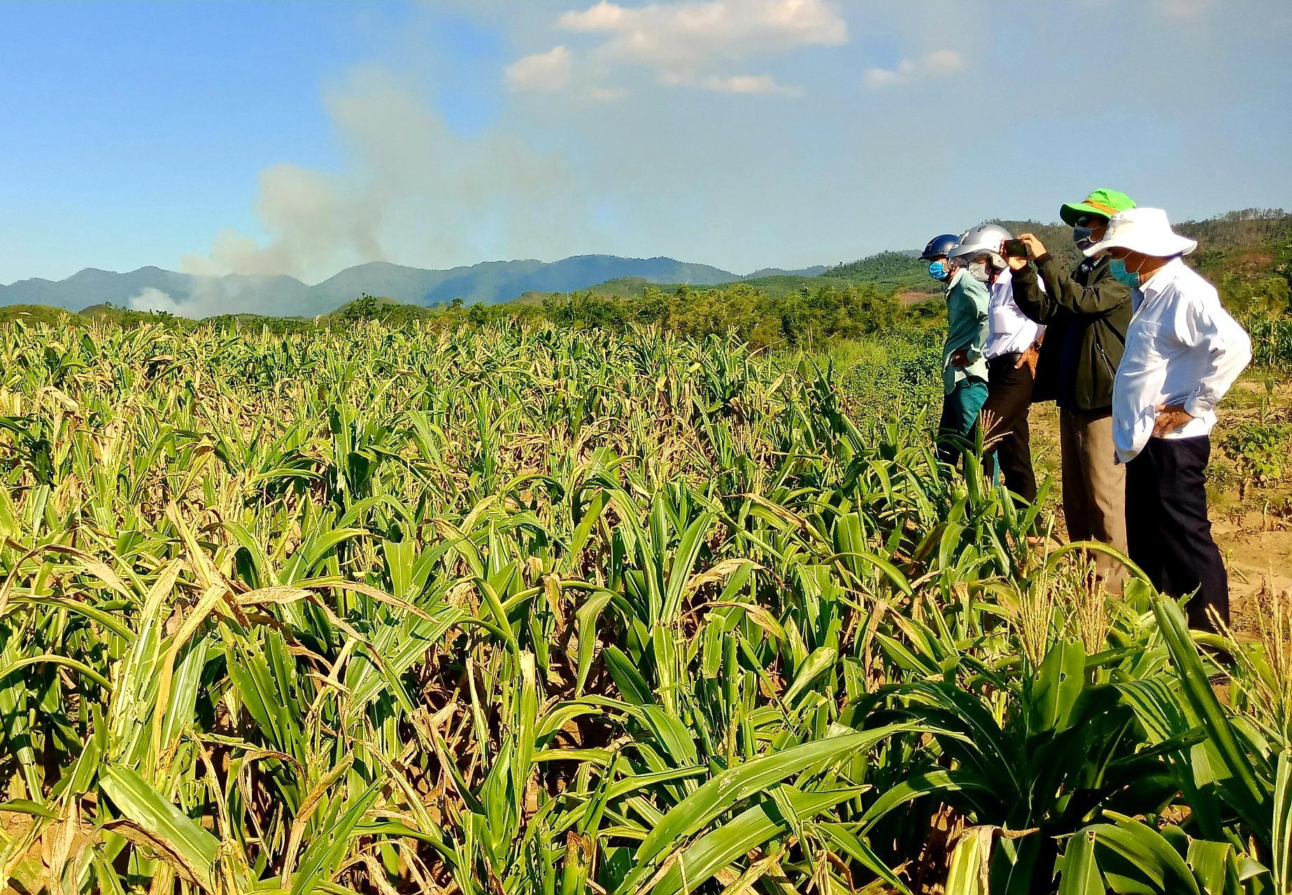 Ngành nông nghiệp tỉnh và huyện Nông Sơn kiểm tra thực tế tình hình khô hạn. Ảnh: N.S