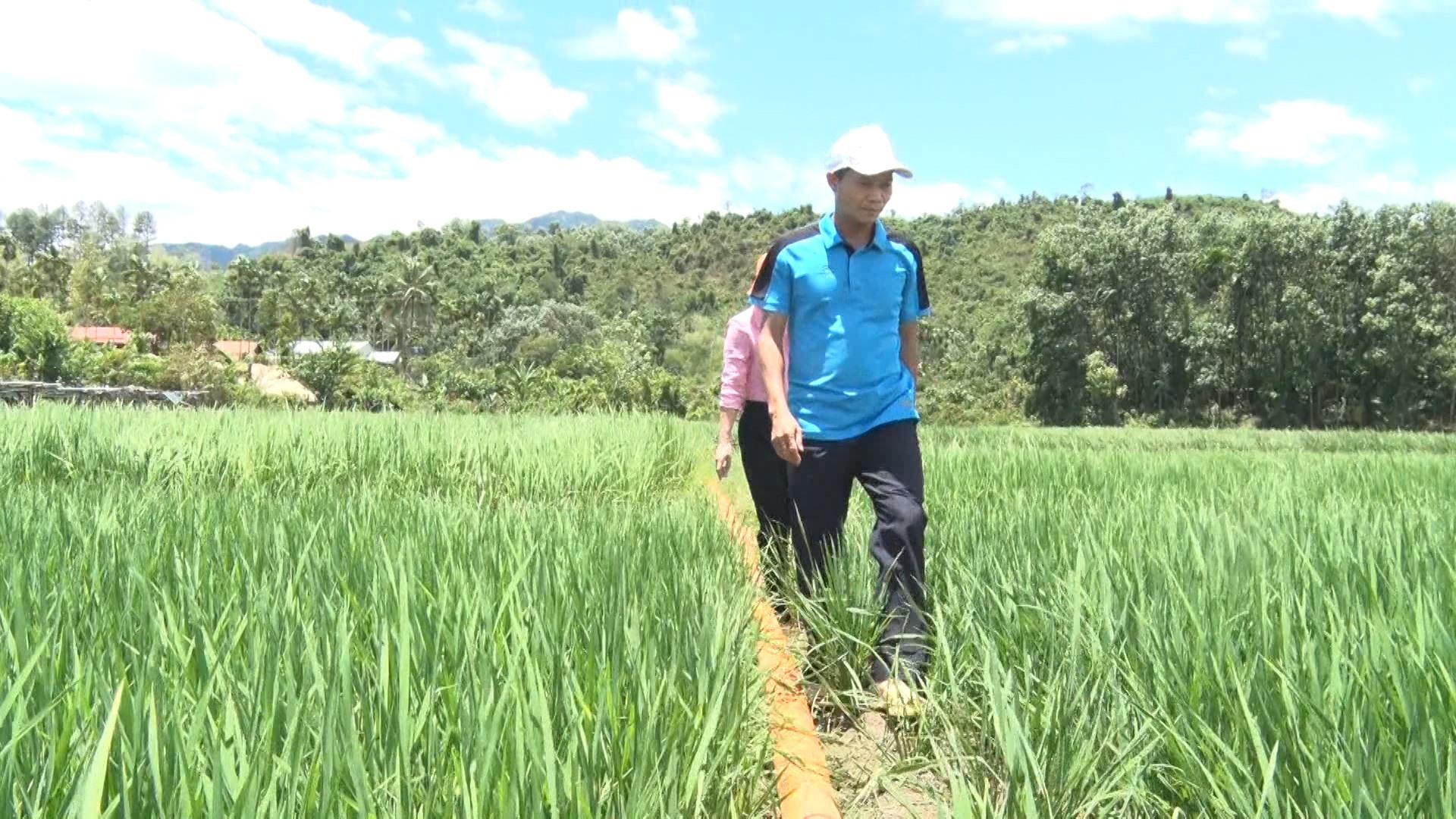 Nước được bơm lên các cánh đồng lúa.