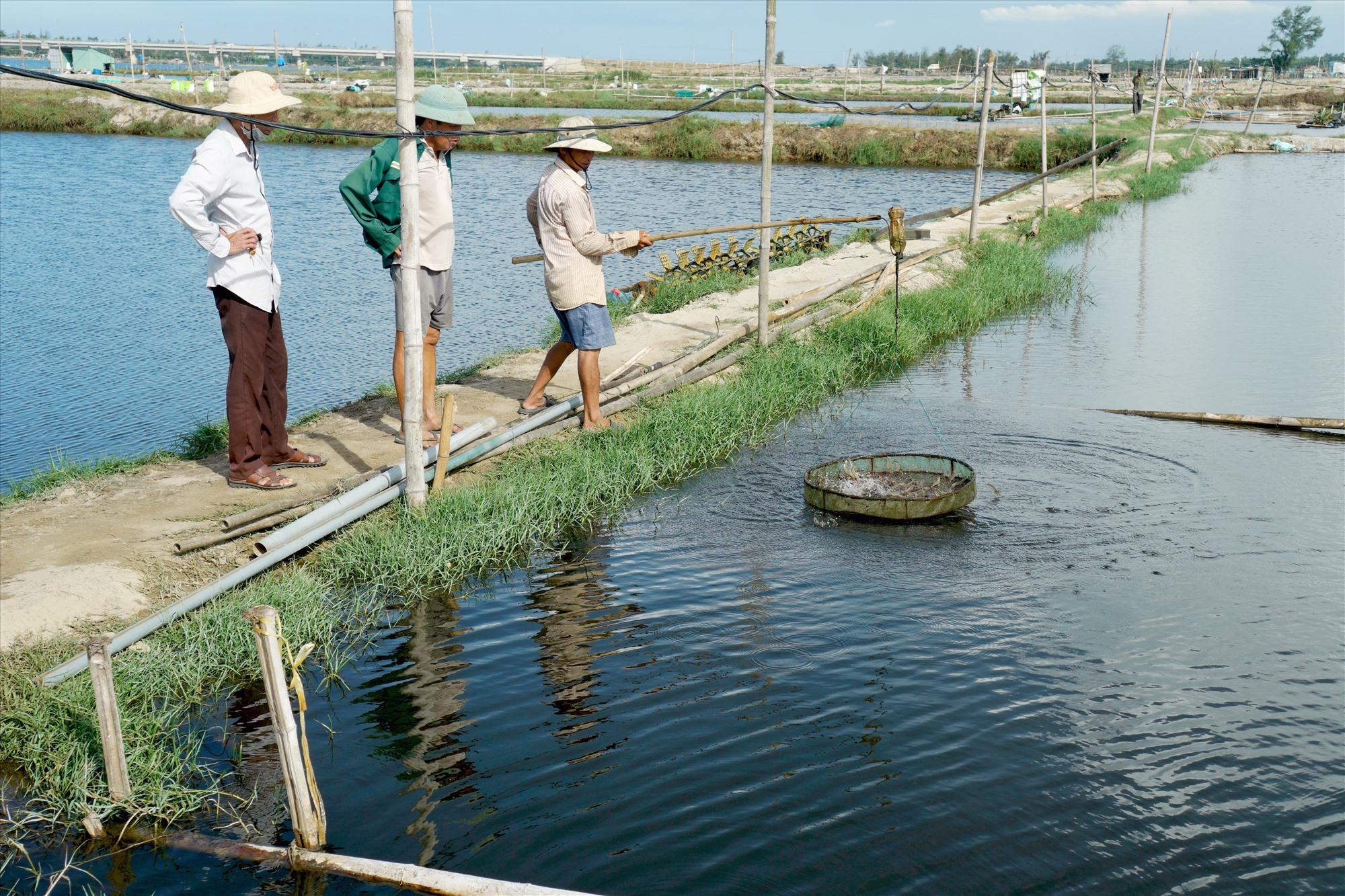 Mô hình nuôi tôm của ông Phạm Văn Đợi (thành viên Tổ hội nghề nghiệp nuôi tôm nước lợ Tam Thăng) cho hiệu quả kinh tế khả quan. Ảnh: NGUYỄN ĐIỆN NGỌC