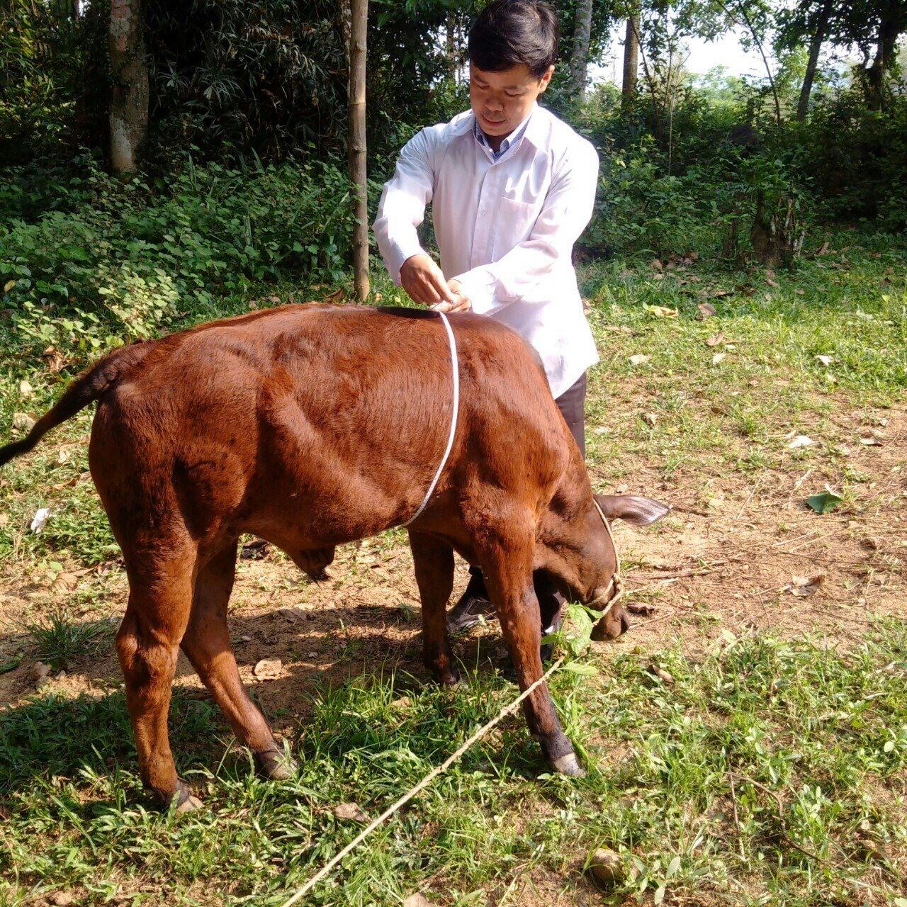 Thử nghiệm sinh sản thành công bò lai F2_BBB tại Hiệp Đức. Ảnh: T.N