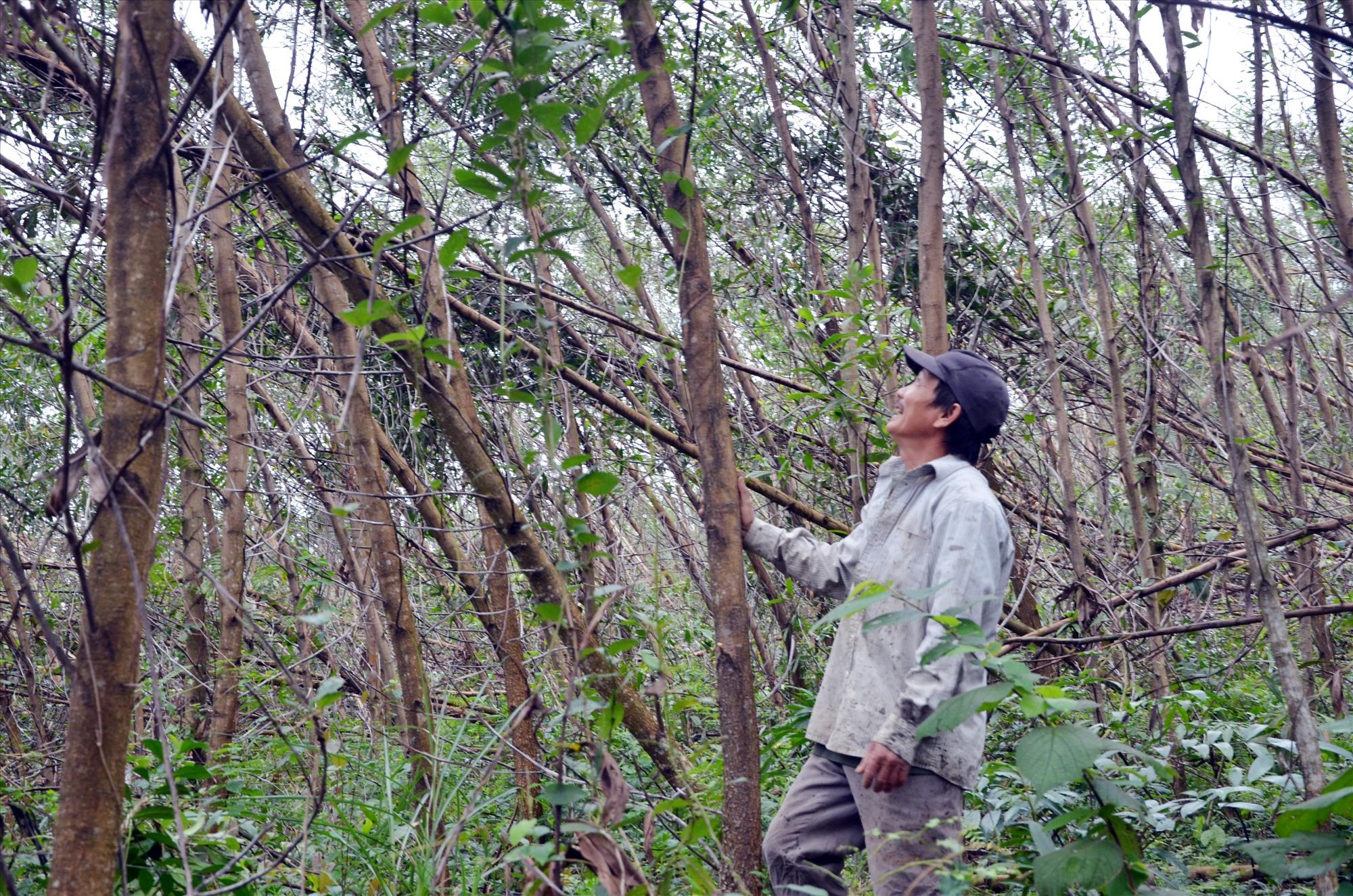 Cây ngã đỗ do cơn bão số 9 năm 2020 là một trong những nguyên nhân gây cháy rừng. Ảnh: H.P