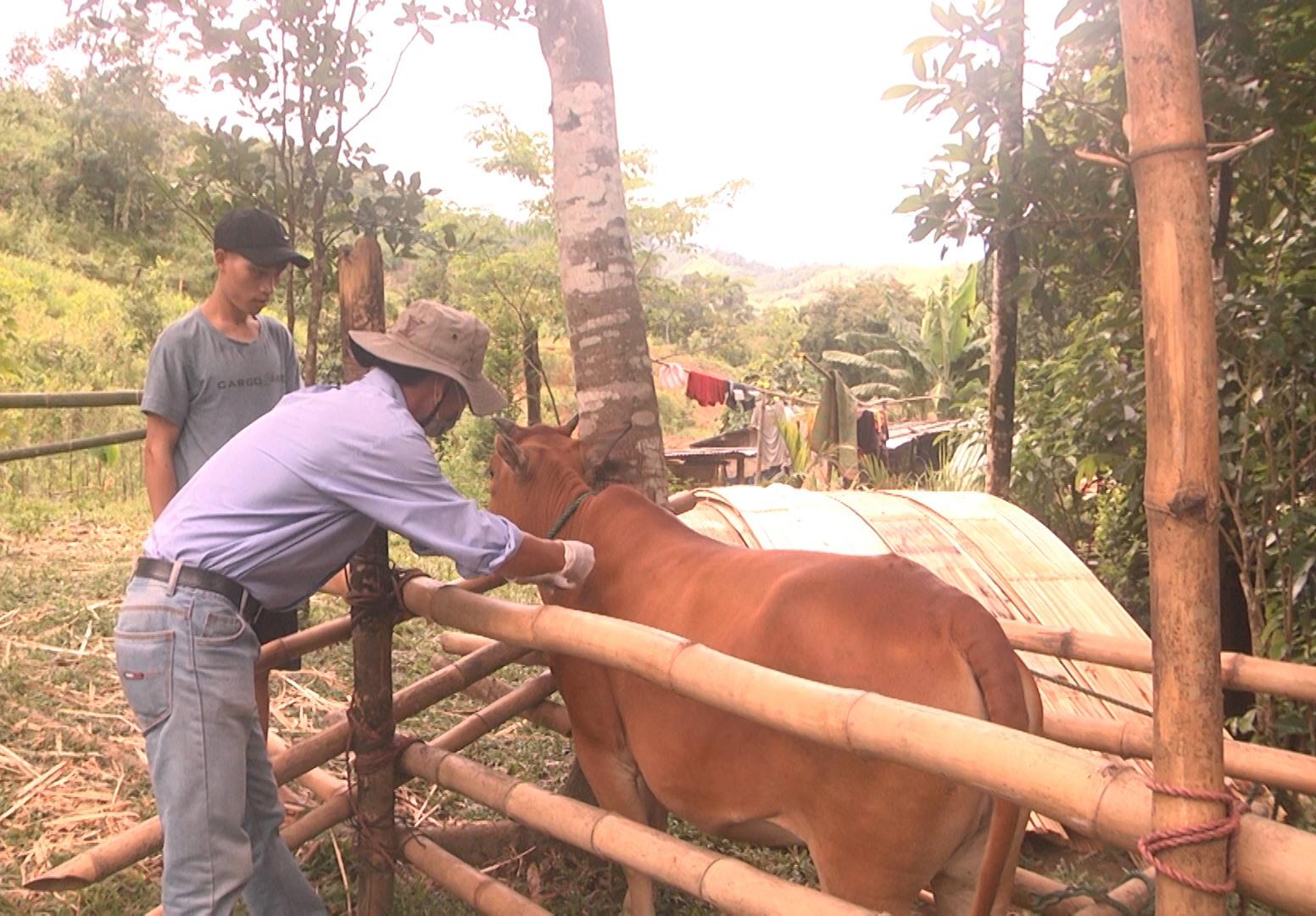 Cán bộ thú y huyện Nam Trà My tiêm vắc xin viêm da nổi cục cho đàn bò. Ảnh: T.M