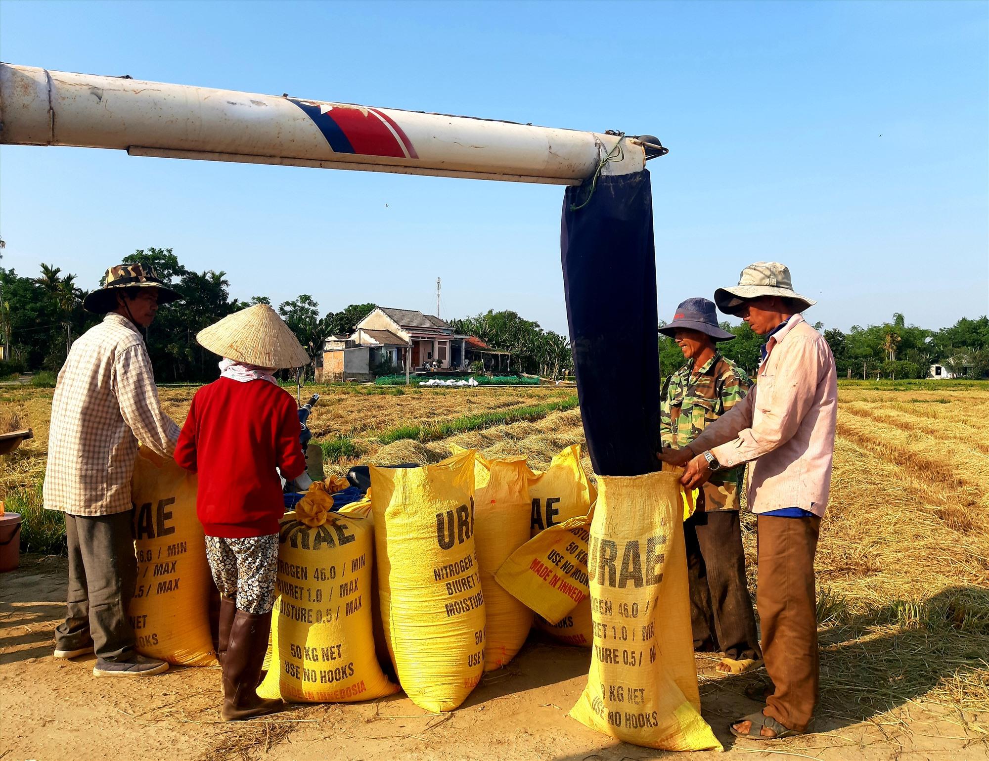 Nông dân các xã vùng Đông của Quế Sơn đẩy mạnh việc liên kết với các doanh nghiệp sản xuất lúa giống hàng hóa nhằm tạo đầu ra ổn định cho sản phẩm và nâng cao hiệu quả kinh tế. Ảnh: N.S