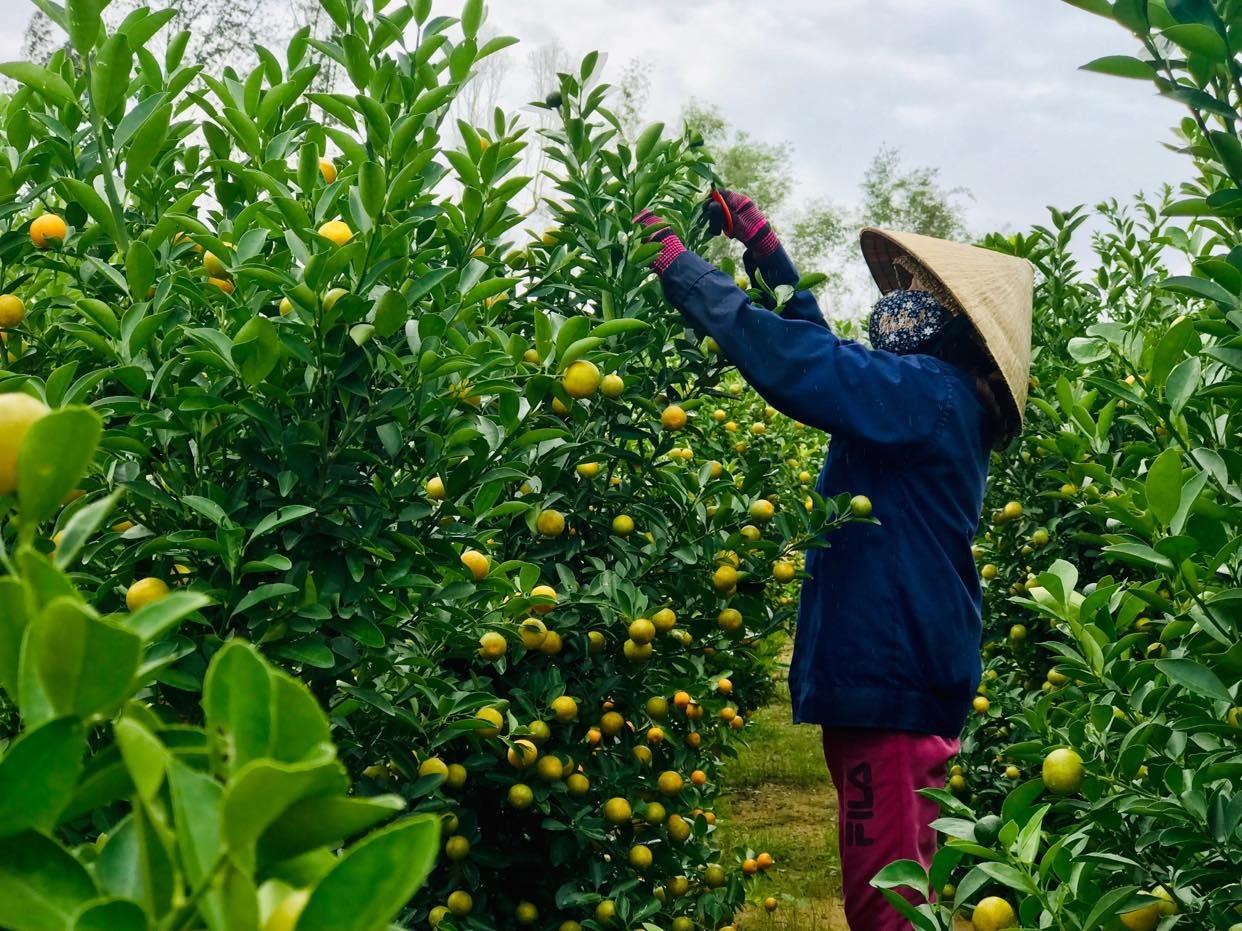 Nghề trồng quật cảnh ở xã Cẩm Hà. Ảnh: Q.T