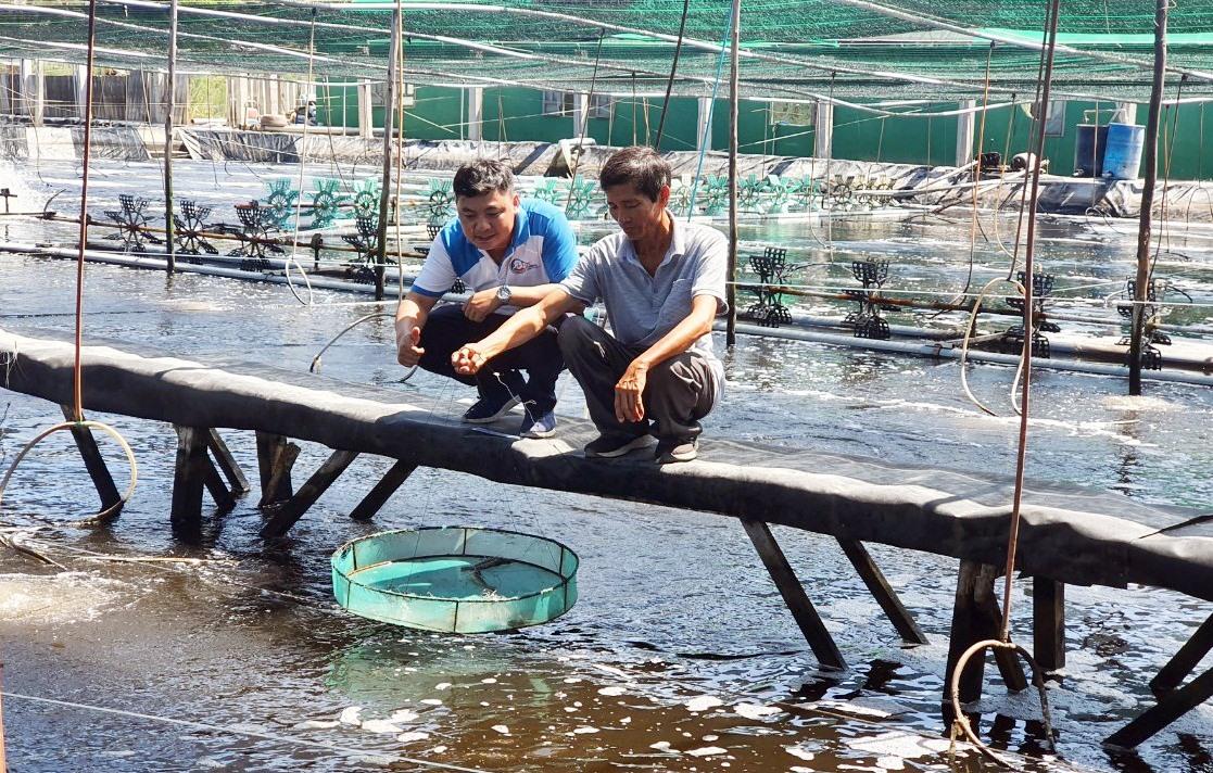 Ông Trần Công Thành liên kết với Công ty C.P để tạo chuỗi tôm sạch làm nguyên liệu chế biến xuất khẩu. Ảnh: VIỆT NGUYỄN
