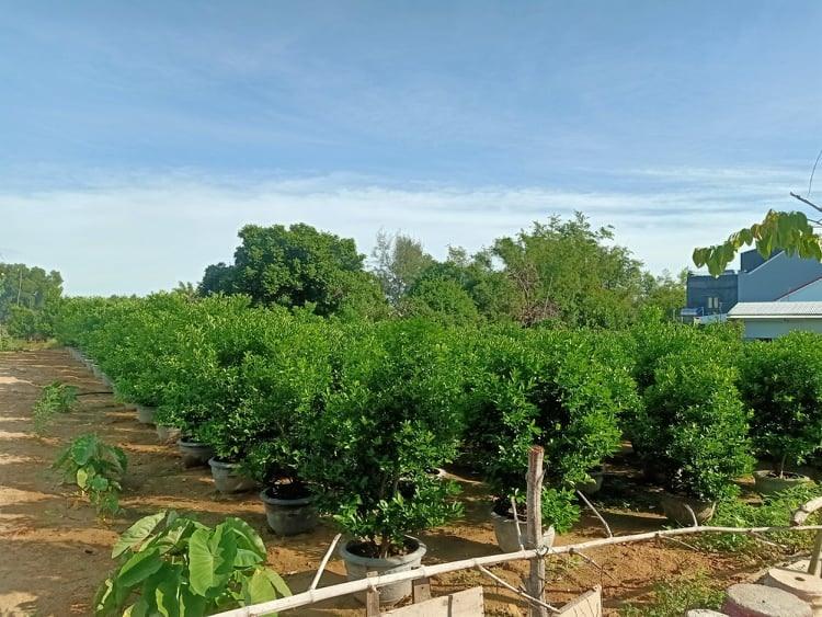Diện tích đất trồng quật cảnh ở xã Cẩm Hà ngày càng bị thu hẹp.