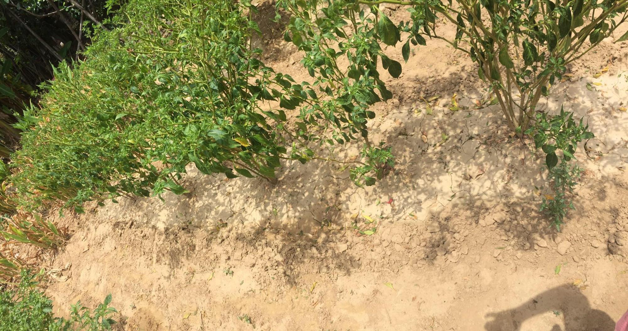 Xã  Đại An (Đại Lộc) xảy ra tình trạng thiếu nước sinh hoạt và sản xuất cục bộ ở một số thời điểm. Ảnh: C.N