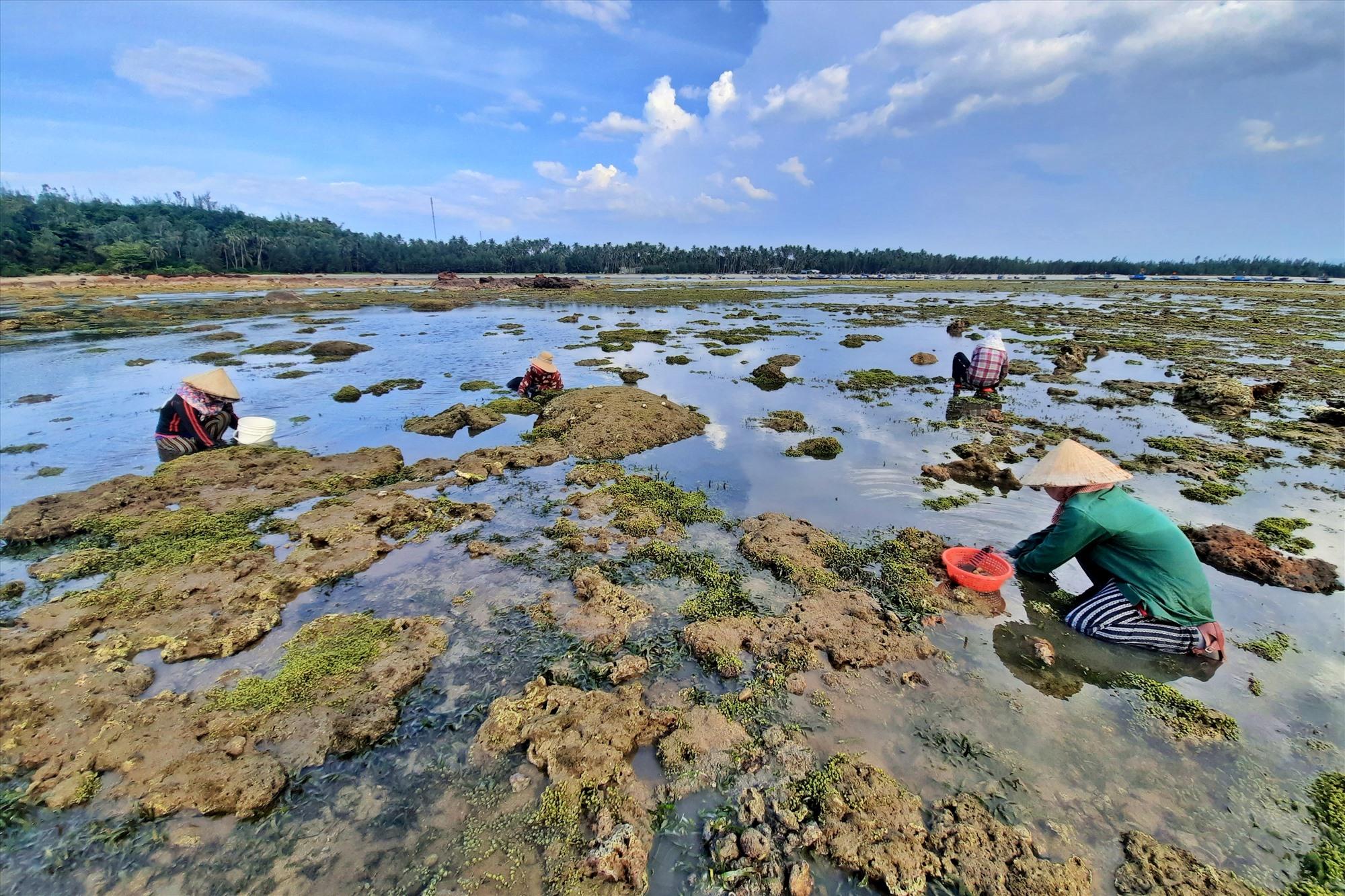 Khi con nước xuống, rạn đá san hô lộ ra cũng là lúc người cào nghêu bắt đầu công việc.