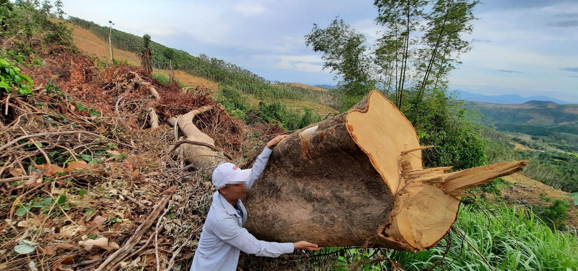 Những cây gỗ lớn tại tiểu khu 543 bị đốn hạ. Ảnh P.L
