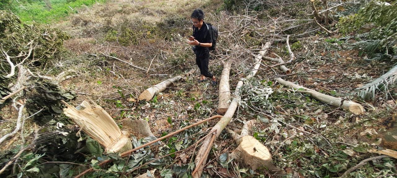 Cây rừng bị đốn hạ nằm ngổn ngang khắp khu rừng. Ảnh P.L