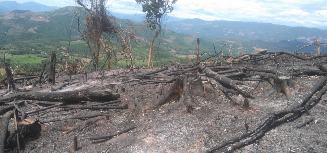 Nhiều diện tích rừng bị đốt cháy để chuẩn bị trồng cây keo. Ảnh P.L
