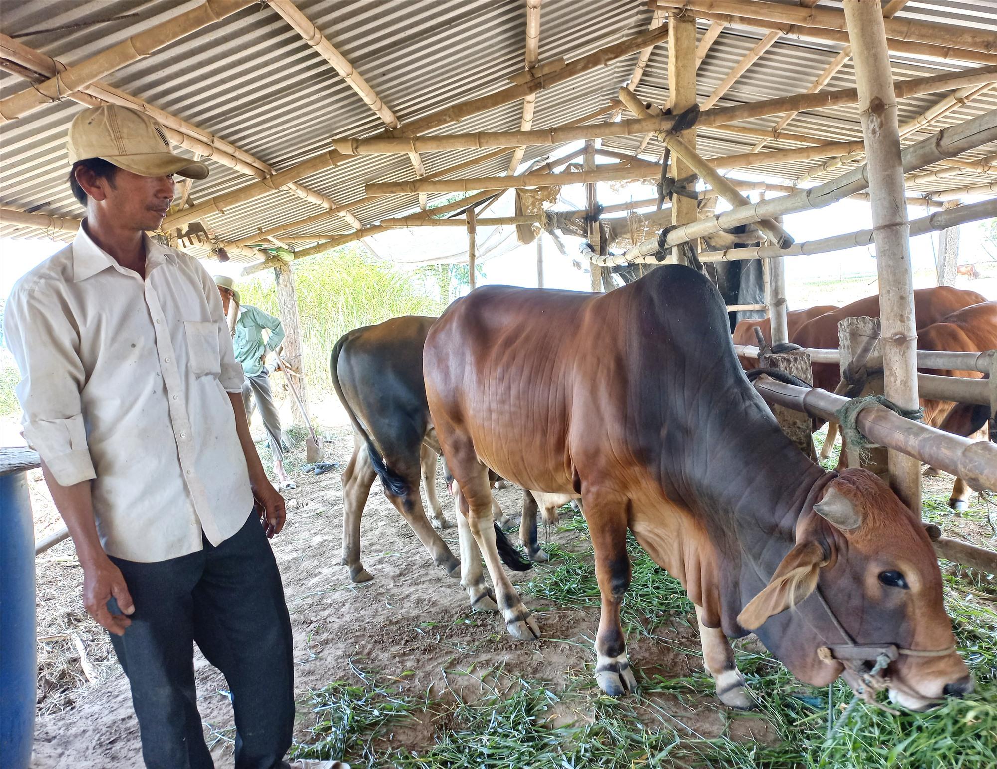 Ông Nguyễn Thanh Hoàng nuôi hàng chục con bò trên bãi biền Long Hội. Ảnh: K.K