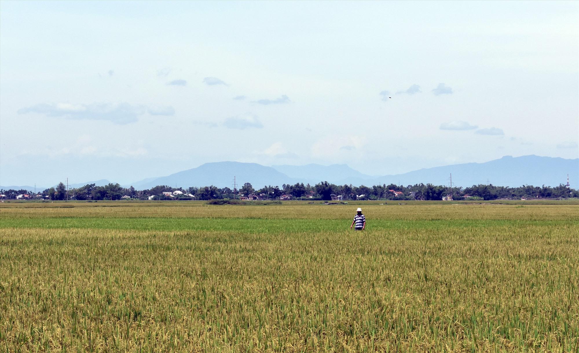 Khoảng 41,5 nghìn ha lúa của tỉnh bị ảnh hưởng do phân tăng giá