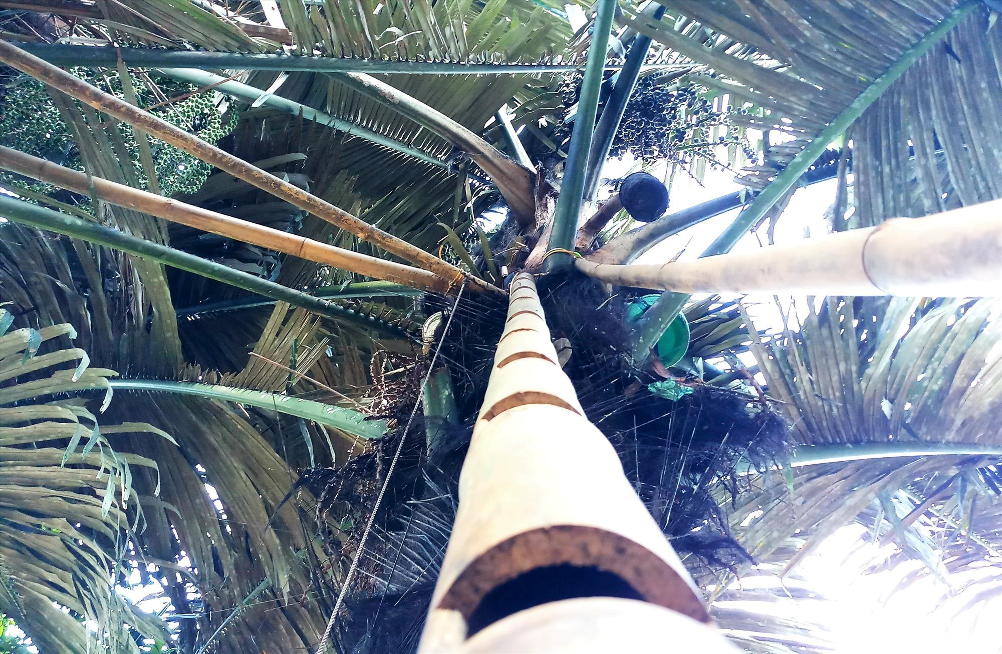"""Trên những chùm cây tà vạc, người vùng cao thường đặt chiếc thang để leo khai thác """"rượu trời"""". Ảnh: Đ.N"""
