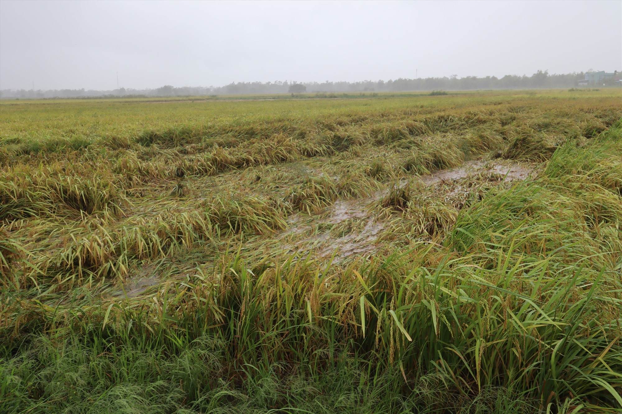 Một số diện tích lúa ở Điện Bàn không kịp thu hoạch trước bão số 5. Ảnh: Q.T