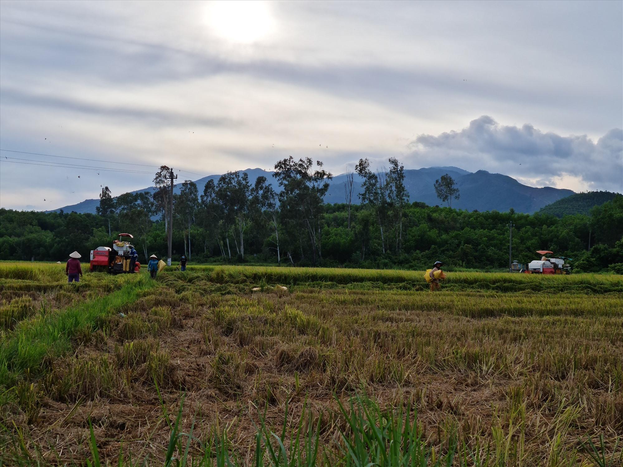 """Nông dân tranh thủ gặt lúa theo phương châm """"Xanh nhà hơn già đồng"""". Ảnh: H.L"""