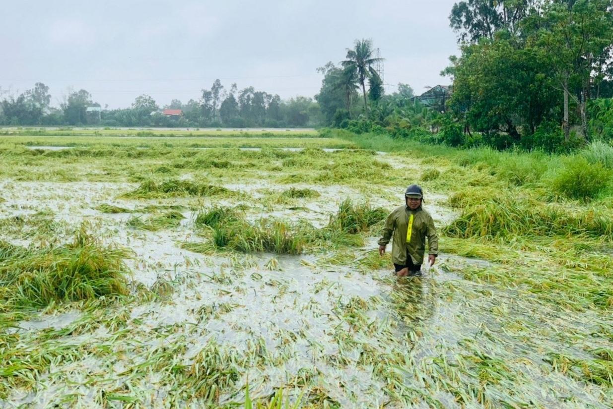 Lúa ngã đổ và ngâm dưới nước, nông dân ở thôn Trà Kiệu Tây (Duy Sơn, Duy Xuyên) lo sẽ thất thu vì nhiều khả năng hạt bị hư thối, nẩy mầm ngay trên cây. Ảnh: VĂN SỰ