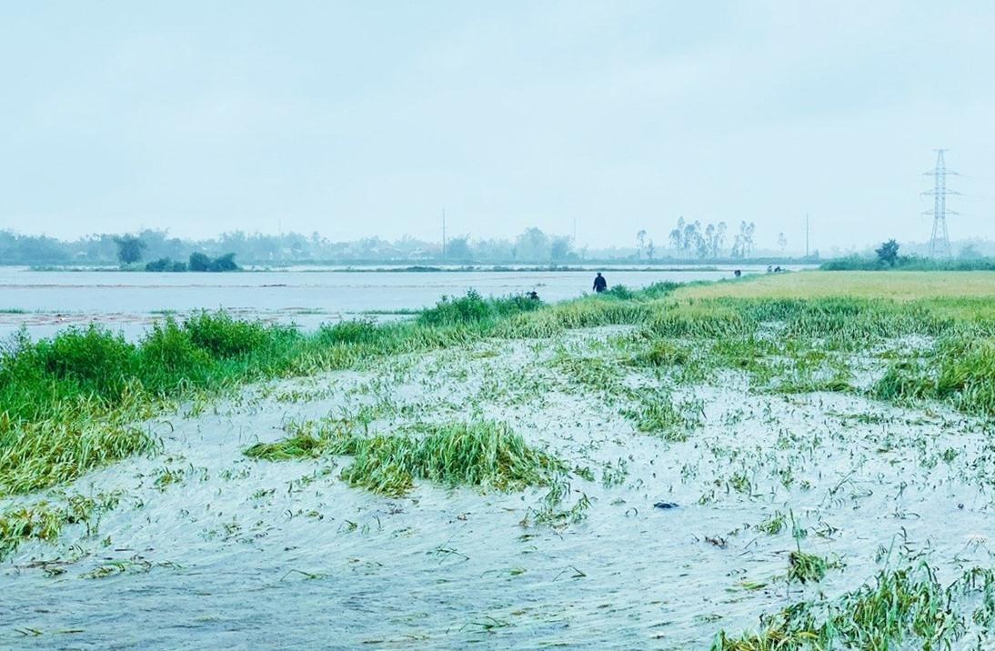 Do mưa to kéo dài và nước từ thượng nguồn đổ về với lưu lượng lớn khiến nhiều diện tích lúa chưa thu hoạch bị ngập úng nặng. Ảnh: VĂN SỰ
