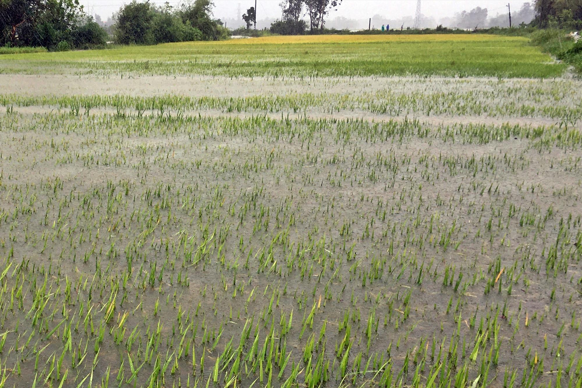 Mưa to đã khiến gần 300ha lúa ở pHú Ninh bị ngập, 150ha có nguy cơ mất trắng. Ảnh: Đ.C