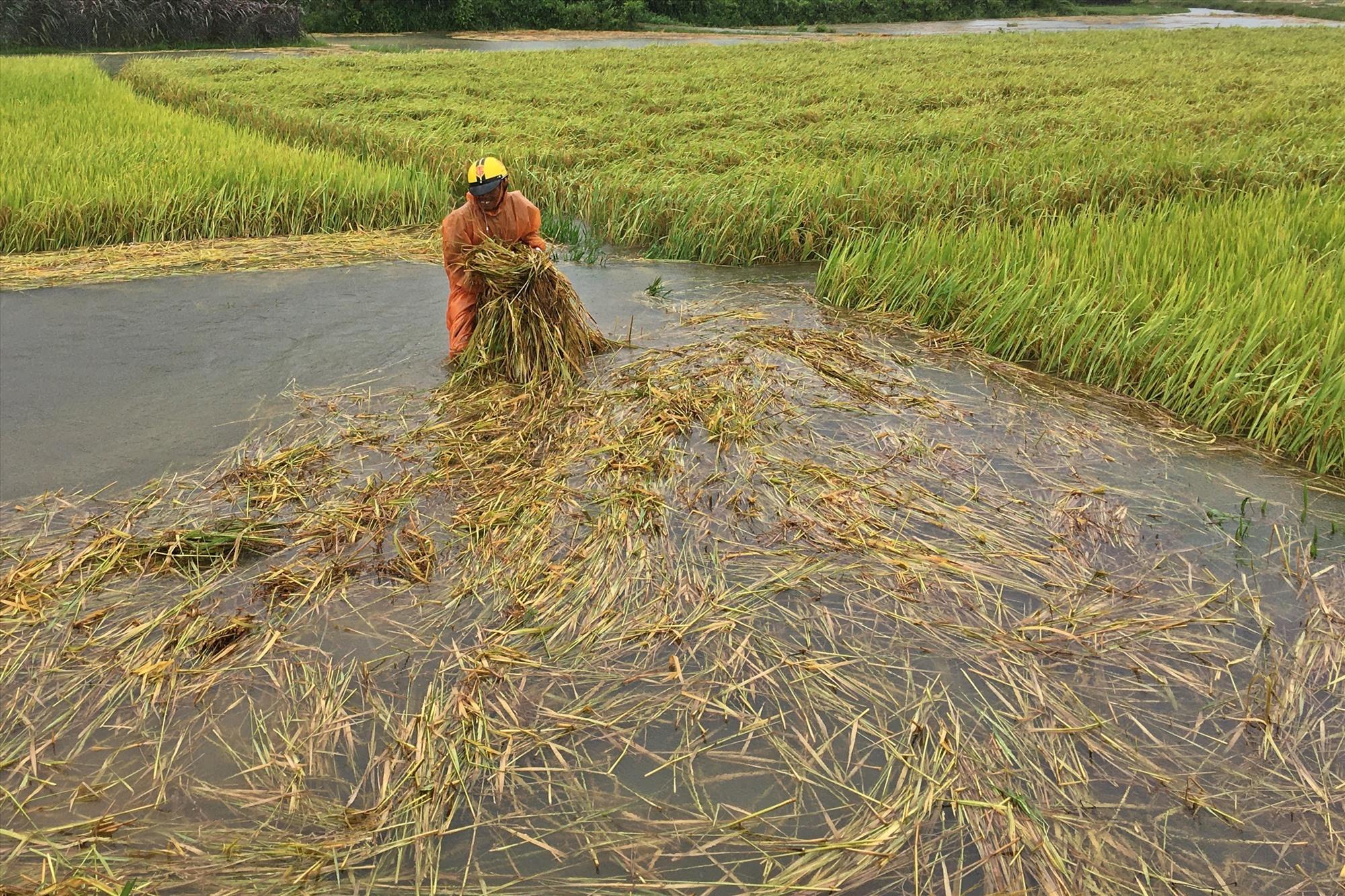 Nông dân Trần Văn Phấn đội mưa để bảo vệ các ruộng lúa. Ảnh: Đ.C