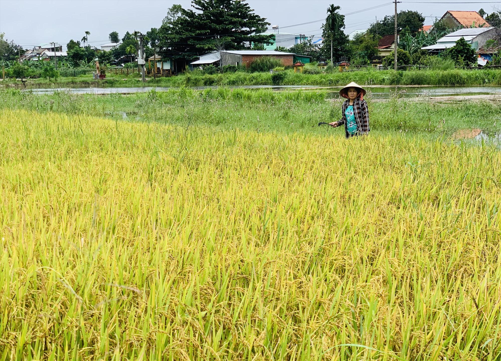 Nhà nông ra đồng tìm cách tiêu thoát nước cho những ruộng lúa bị ngập úng. Ảnh: N.T