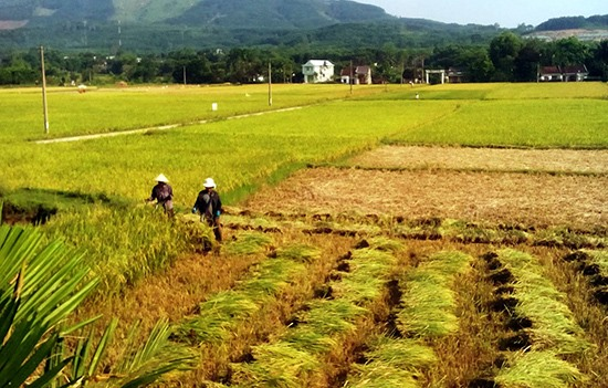A paddy field in the harvest in Vietnam