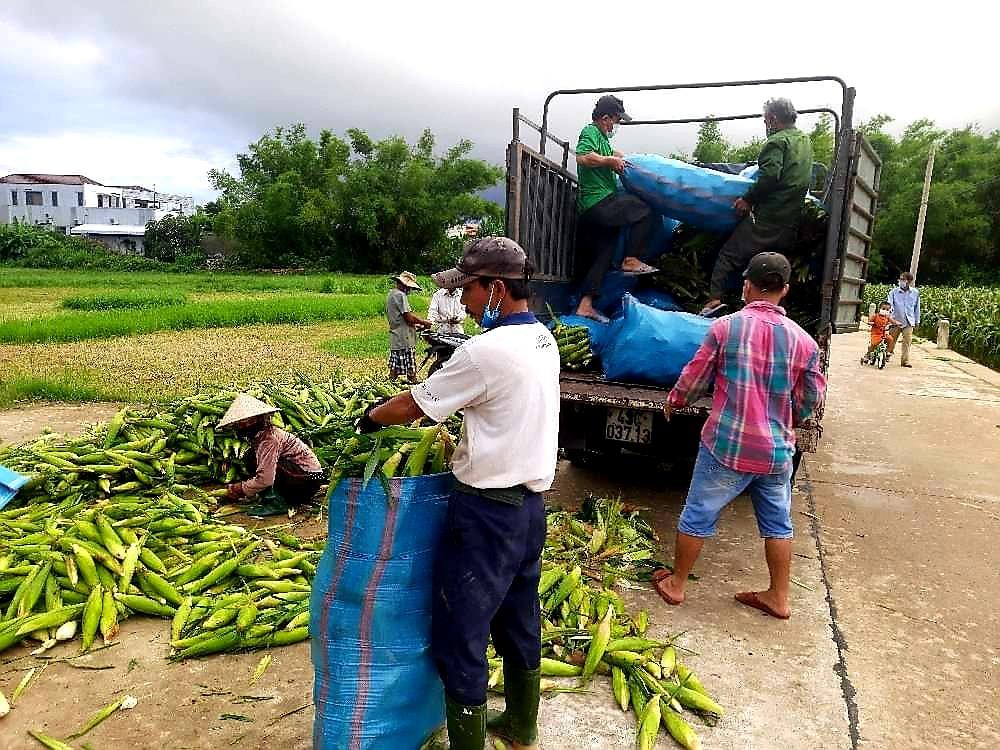 Do ảnh hưởng của dịch Covid-19, việc tiêu thụ sản phẩm khó khăn nên vụ này tư thương thu mua bắp nếp với mức giá giảm 25 – 30% so với hè thu năm ngoái. Ảnh: N.S