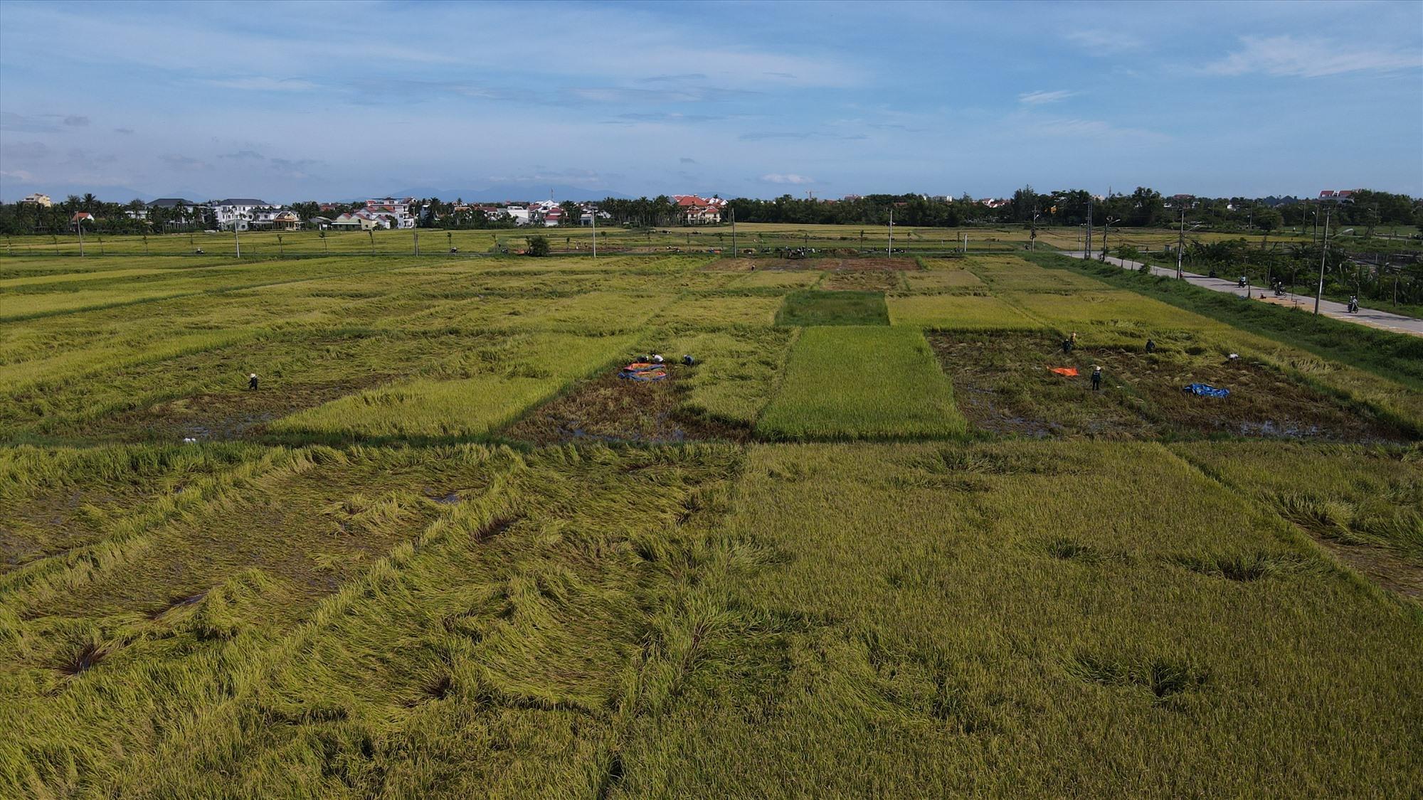 Hàng chục ha lúa của người dân tại cánh đồng Mẫu (xã Cẩm Thanh, Hội An) bị ngã đổ và bắt đầu lên mầm non sau những ngày ngâm nước do mưa lũ.