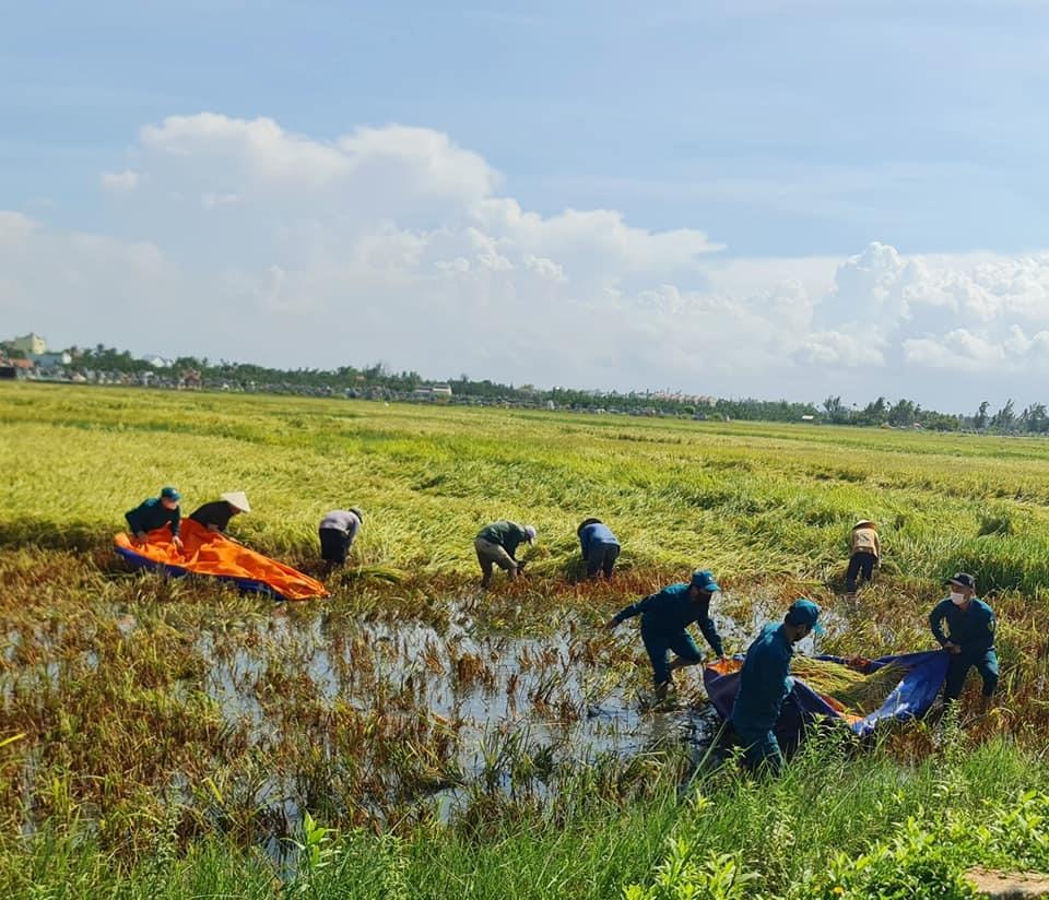 Sáng sớm, nông dân (thôn Võng Nhi, Thanh Nhứt, xã Cẩm Thanh)  đa lội nước dùng liềm để cắt từng khóm lúa bị ngã đổ tại cánh đồng Mẫu.