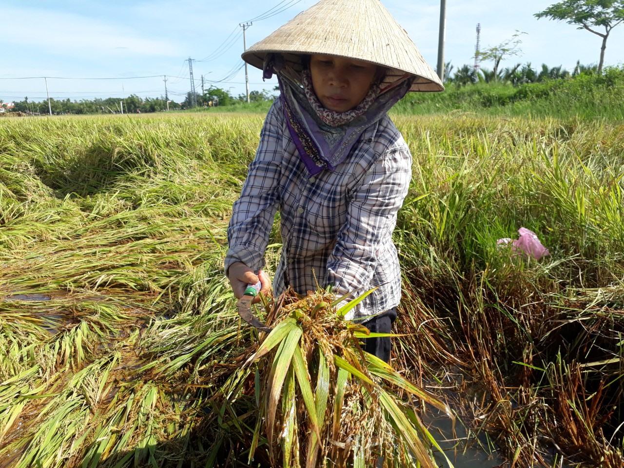 Bà Lê Thị Quy (thôn Võng Nhi, xã Cẩm Thanh) đang thu hoạch lúa tại cánh đồng Mẫu cho biết, lúa bị ngã ngã trước bão số 5 và ngâm nước hơn 20 ngày qua, bắt đầu lên mầm nên chỉ gặt về cho gia cầm ăn hoặc xoay bột nuôi gia súc.