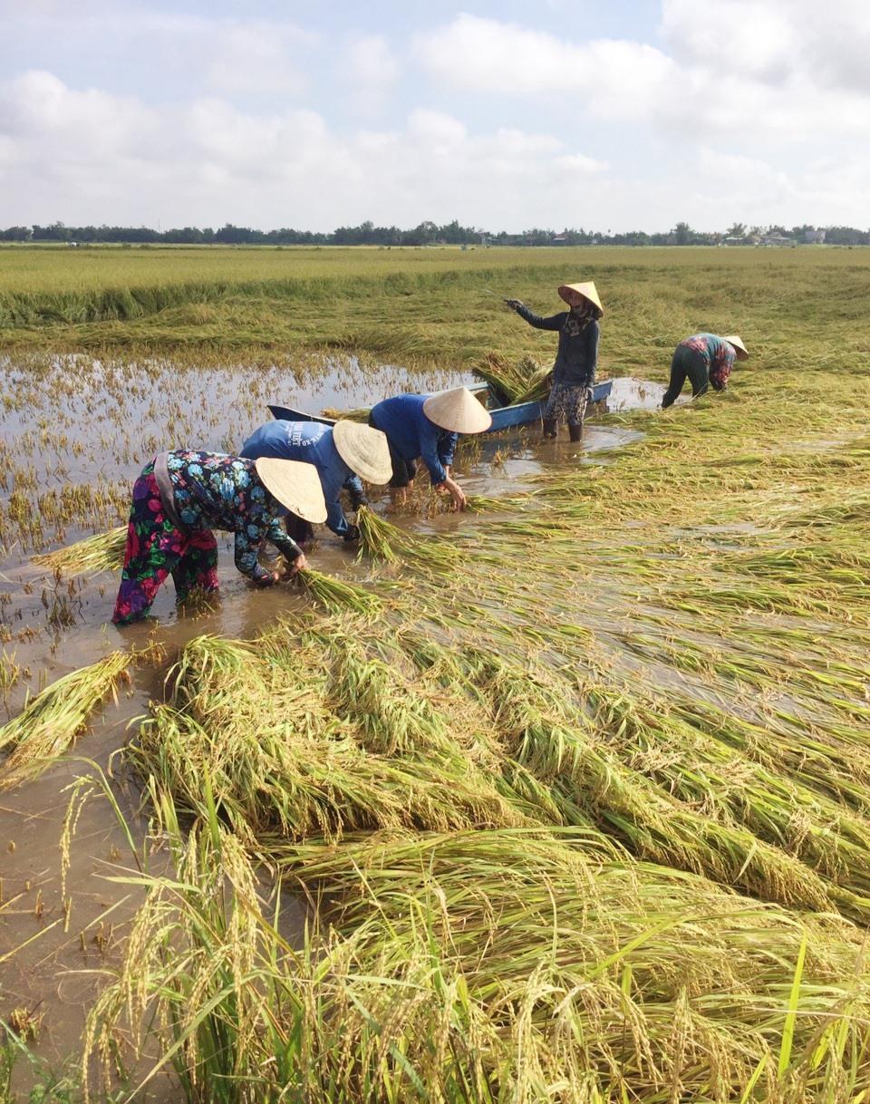 Trong 2 ngày qua, nông dân nhiều địa phương của tỉnh khẩn trương thu hoạch lúa bị ngã đổ và ngập úng nhằm hạn chế thiệt hại.   Ảnh: N.P