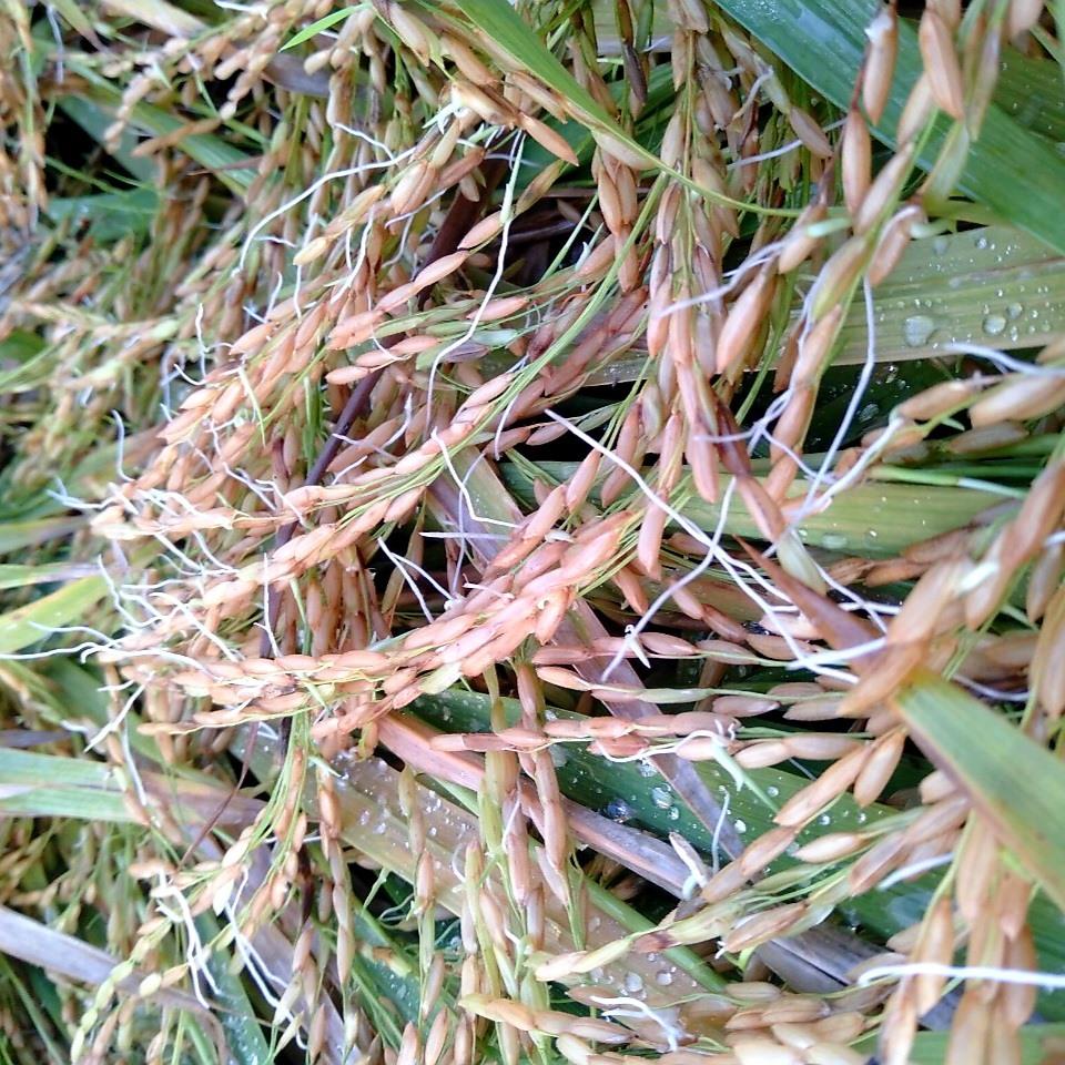 Khảo sát cho thấy, nhiều ruộng lúa bị ngập úng nặng xảy ra tình trạng hạt nẩy mầm ngay trên cây.   Ảnh: N.P