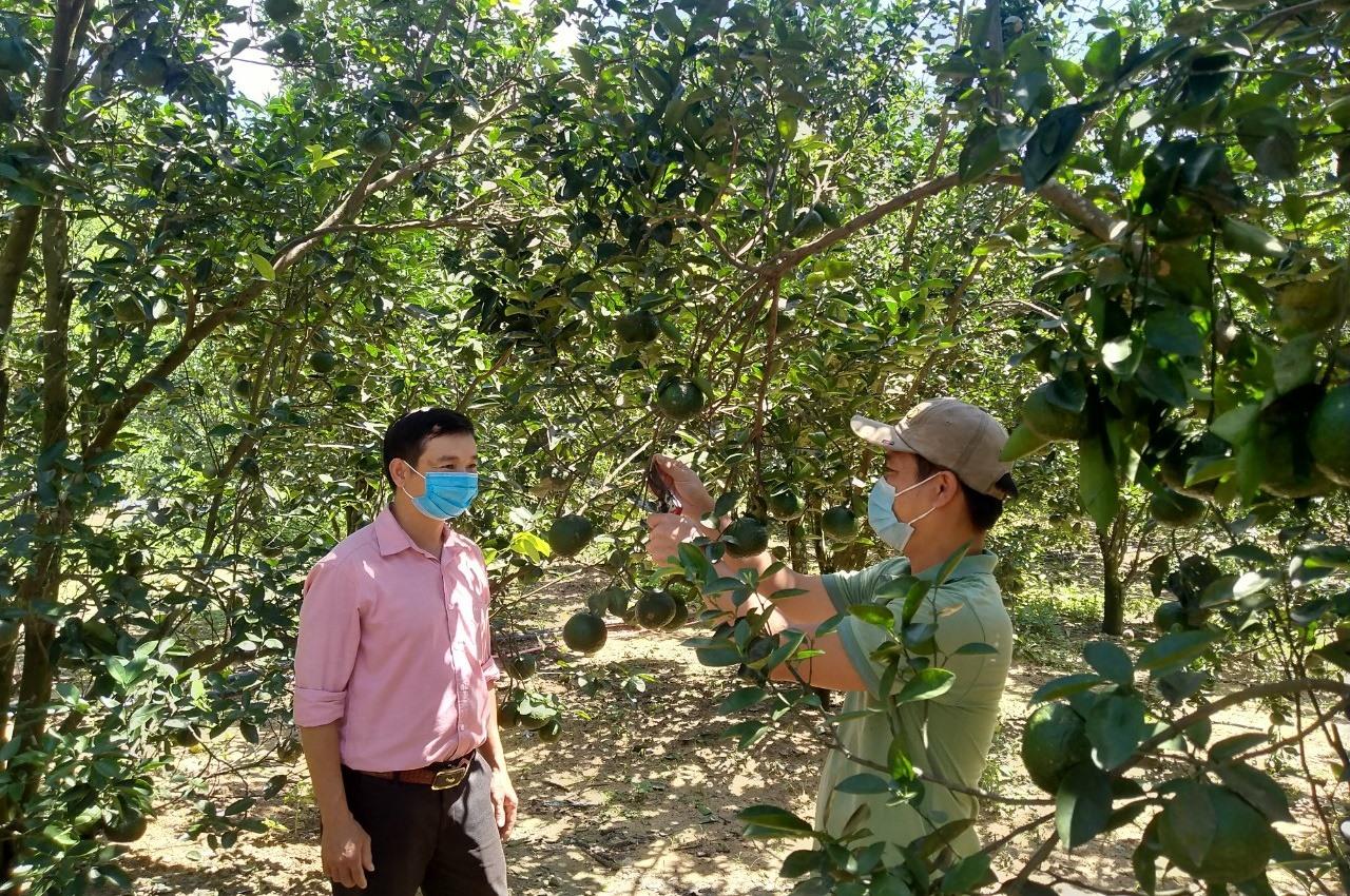 Vườn cam sành của gia đình anh Nguyễn Quảng Hiệp chuẩn bị cho thu hoạch. Ảnh: N.Đ