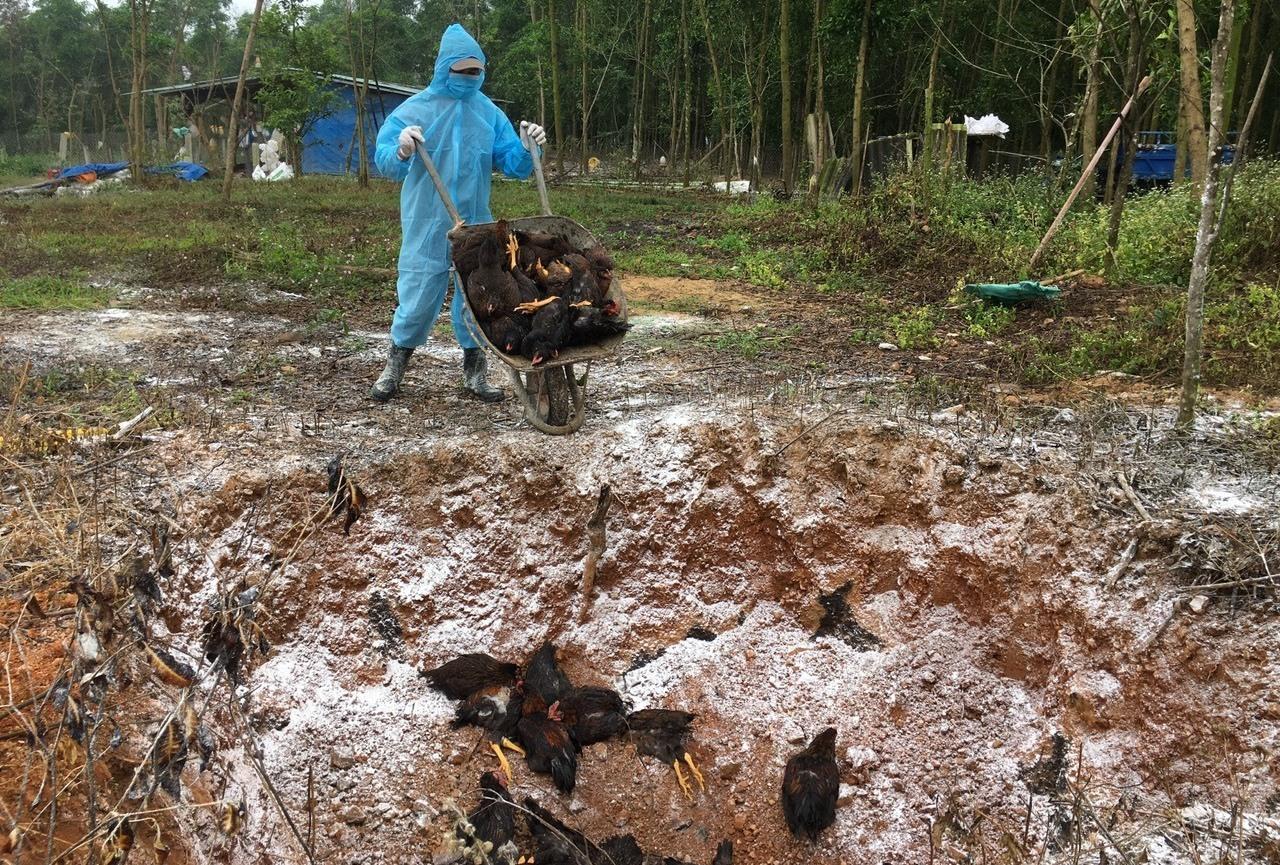 Trong tháng 2 và 3.2021, tại một số địa phương của tỉnh có 12.473 con gà bị nhiễm dịch cúm gia cầm phải tiêu hủy bắt buộc. Ảnh: N.S