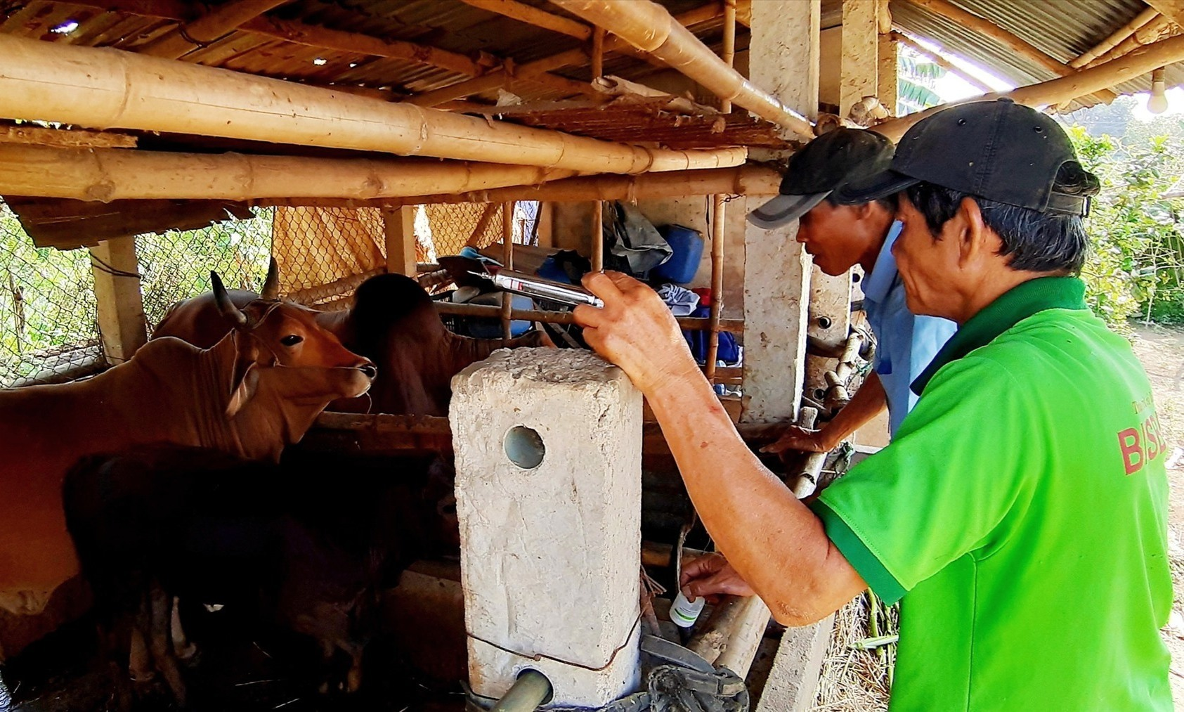 Các địa phương cần có kế hoạch và bố trí nguồn kinh phí mua vắc xin tiêm phòng bệnh viêm da nổi cục cho trâu, bò. Ảnh: N.S