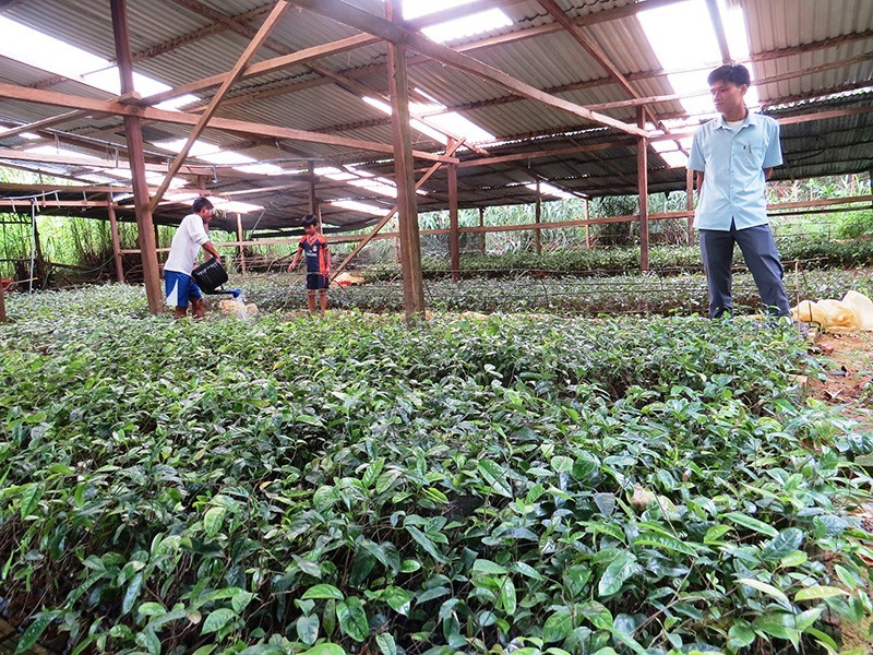 A garden of Morinda officinalis in Tay Giang district, Quang Nam province